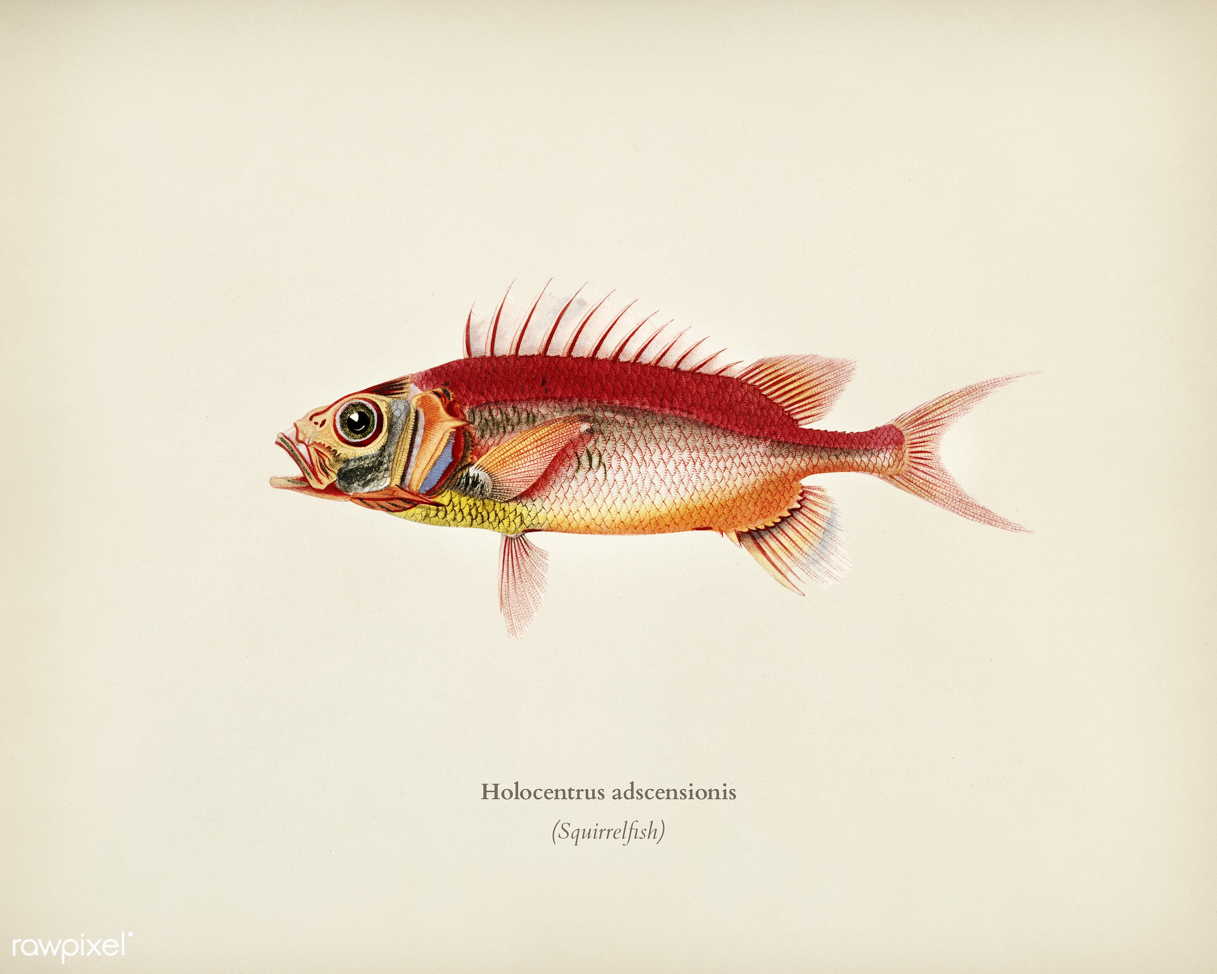 Holocentrus adscensionis illustrated by Charles Dessalines D' Orbigny (1806-1876). Digitally enhanced from our own 1892...