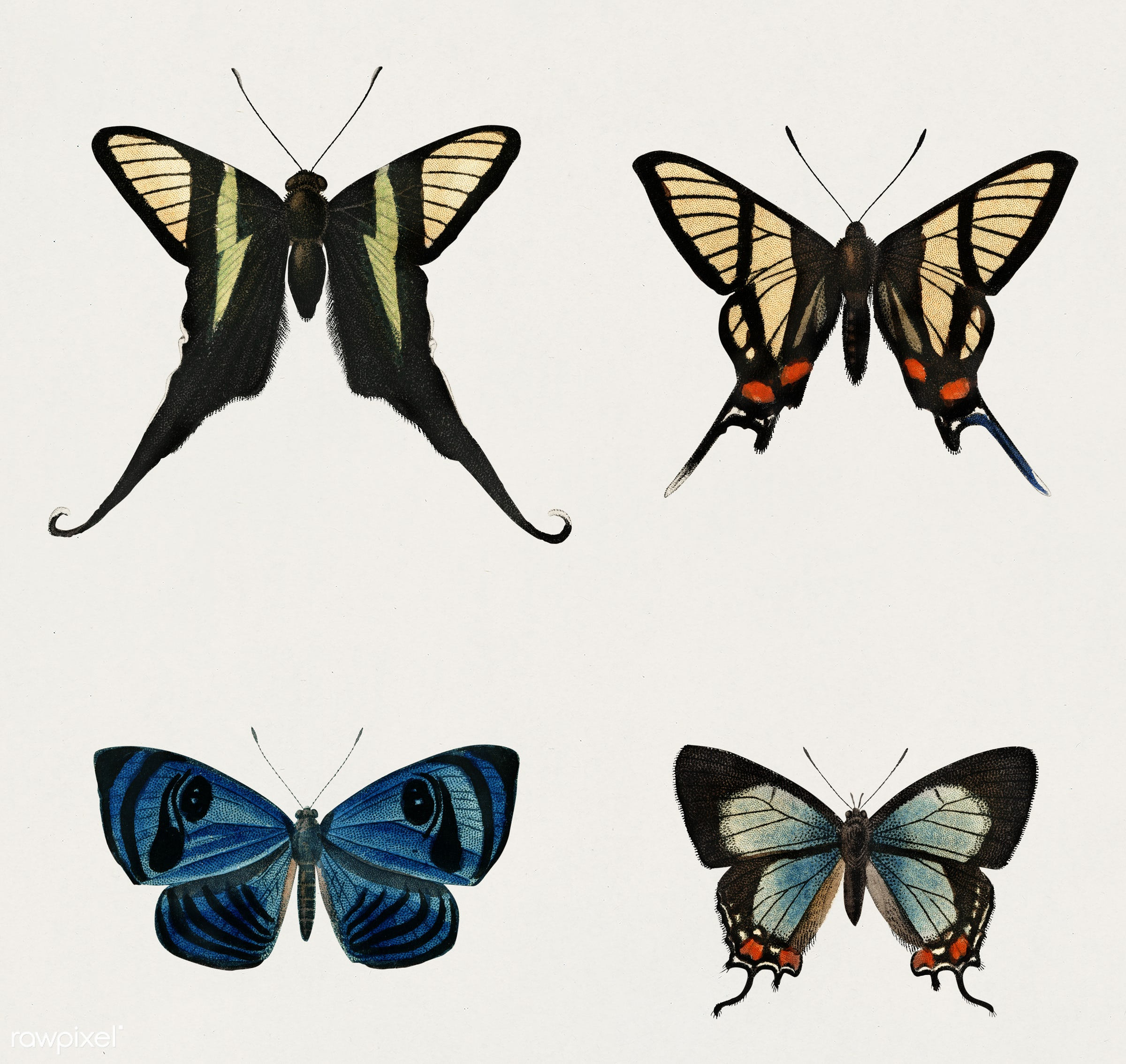 Collection of hand drawings of butterflies illustrated by Charles Dessalines D' Orbigny (1806-1876). Digitally enhanced...