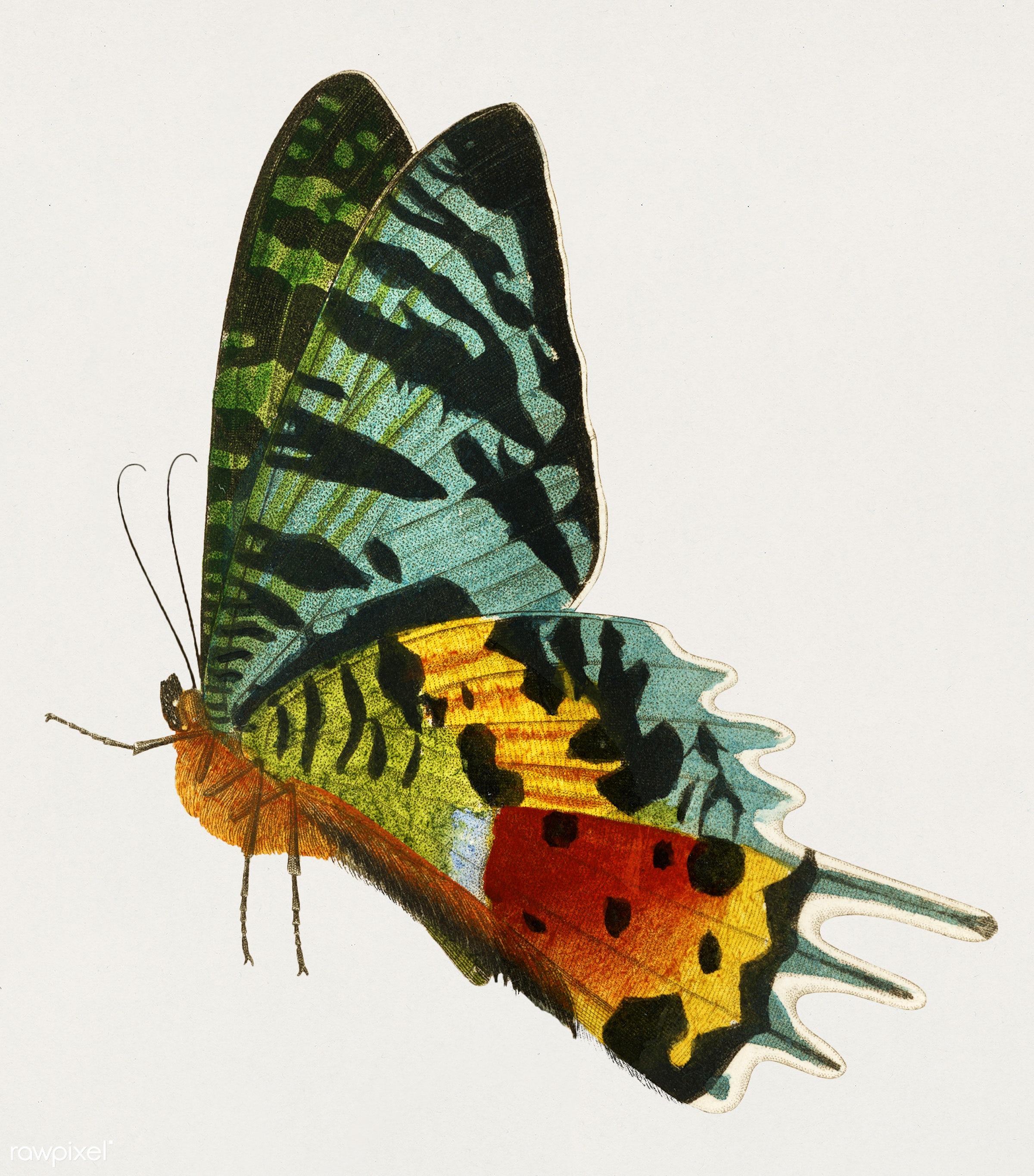 Madagascan Sunset Moth (Urania Riphaeus) illustrated by Charles Dessalines D' Orbigny (1806-1876). Digitally enhanced...