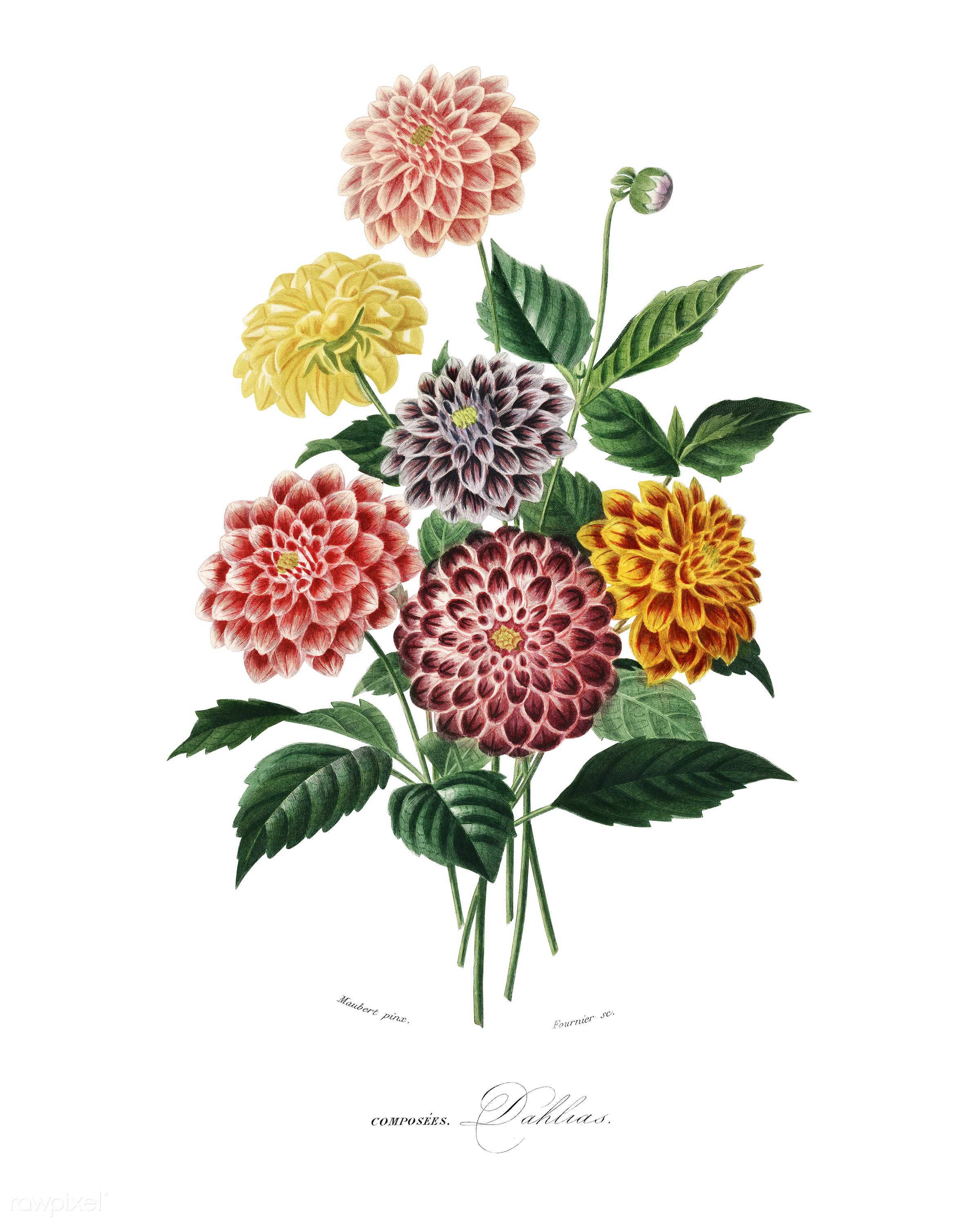 Dahlia illustrated by Charles Dessalines D' Orbigny (1806-1876). Digitally enhanced from our own 1892 edition of...