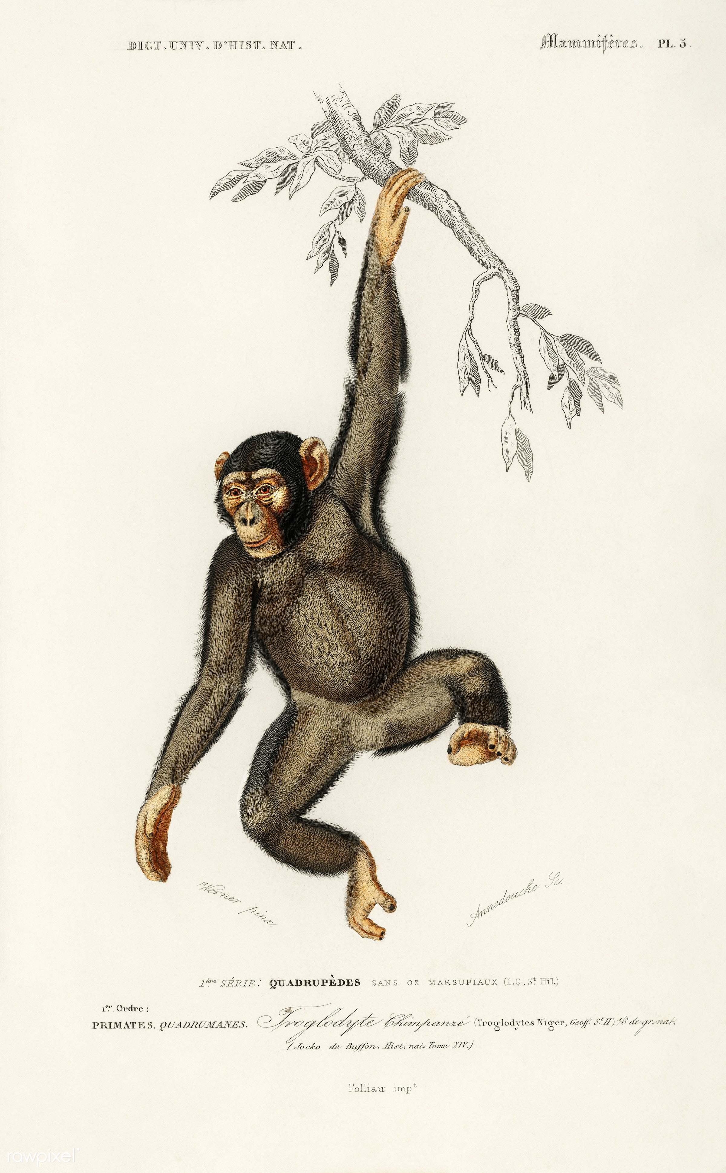Chimpangze (Troglodyte Chimpanze) illustrated by Charles Dessalines D' Orbigny (1806-1876). Digitally enhanced from our...