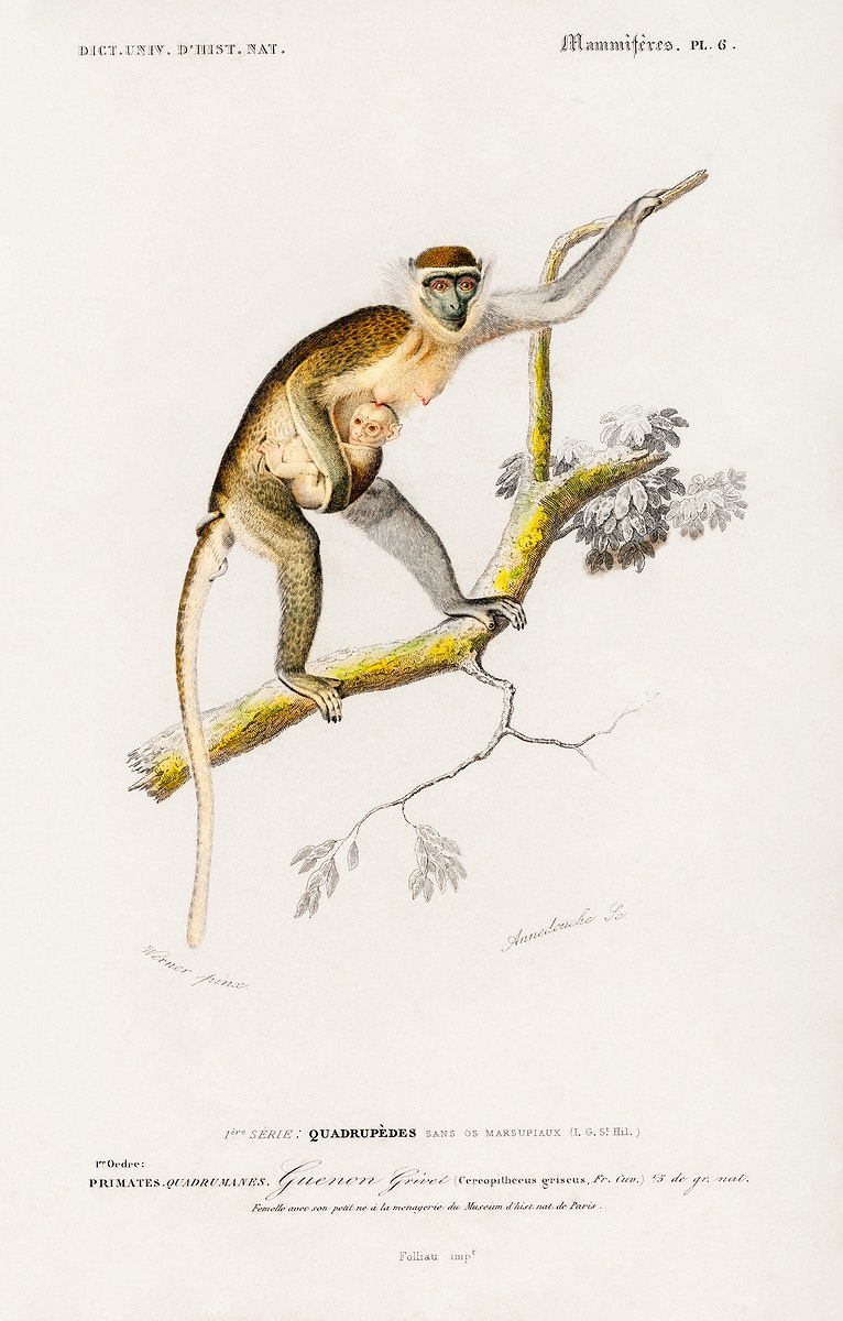 Cercopithecus griseus (Guenon Grivet) illustrated by Charles Dessalines D' Orbigny (1806-1876). Digitally enhanced from our…
