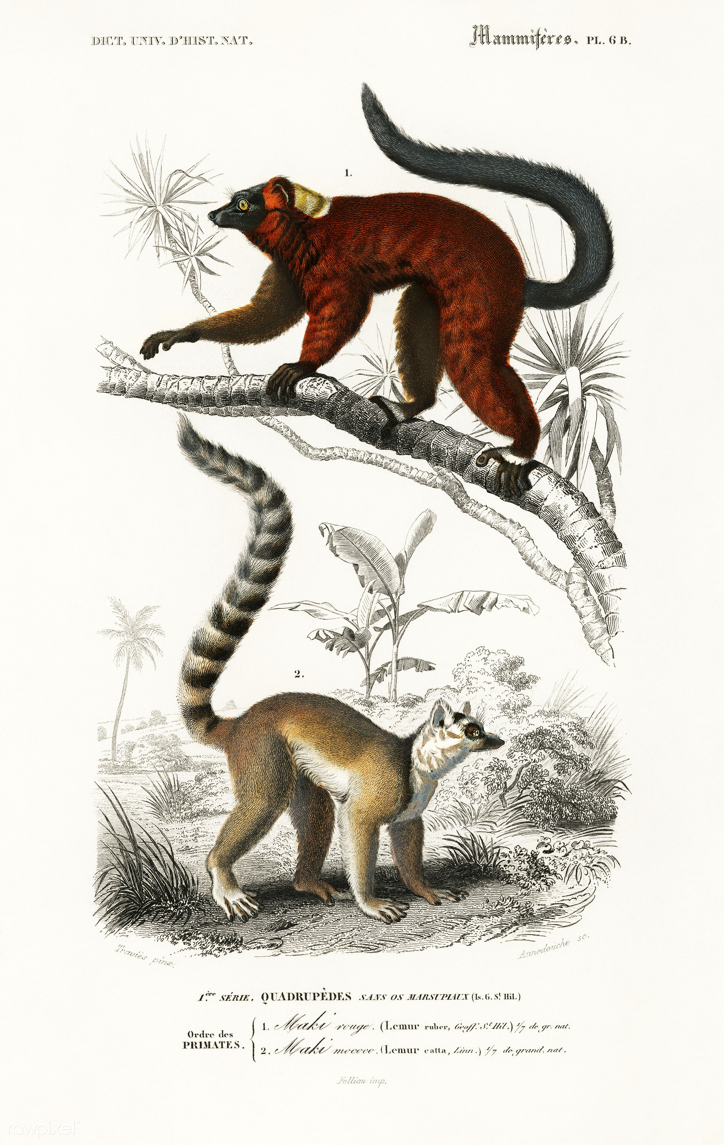 Lemur illustrated by Charles Dessalines D' Orbigny (1806-1876). Digitally enhanced from our own 1892 edition of...