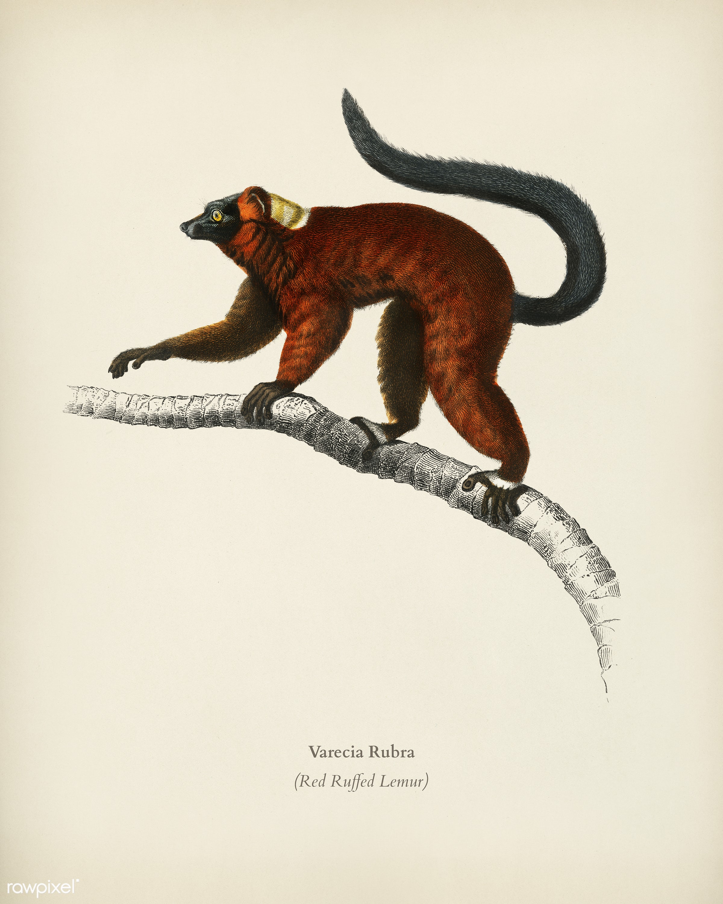 Red ruffed Lemur (Varecia Rubra) illustrated by Charles Dessalines D' Orbigny (1806-1876). Digitally enhanced from our...