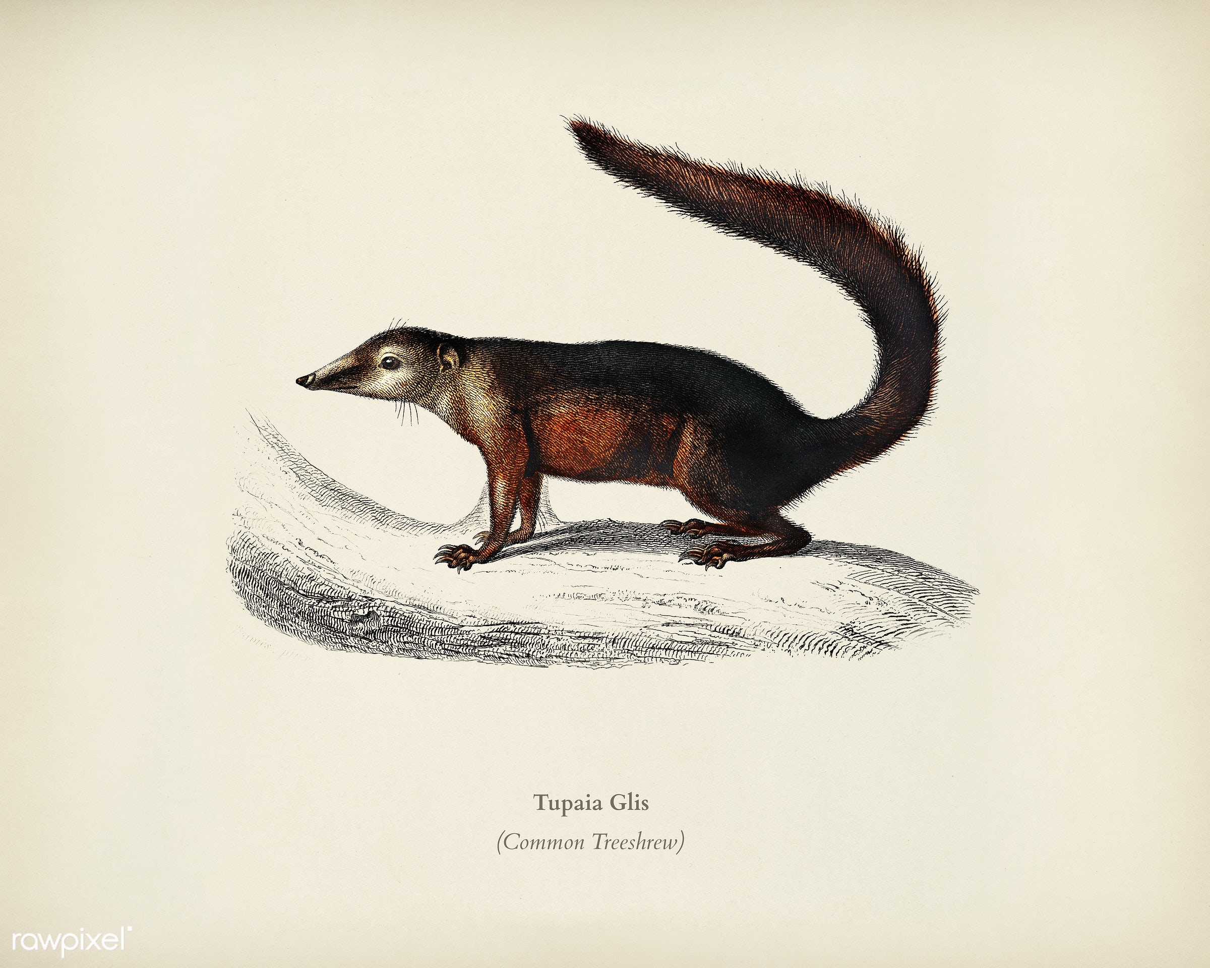 Common Treeshrew (Tupaia Glis) illustrated by Charles Dessalines D' Orbigny (1806-1876). Digitally enhanced from our own...