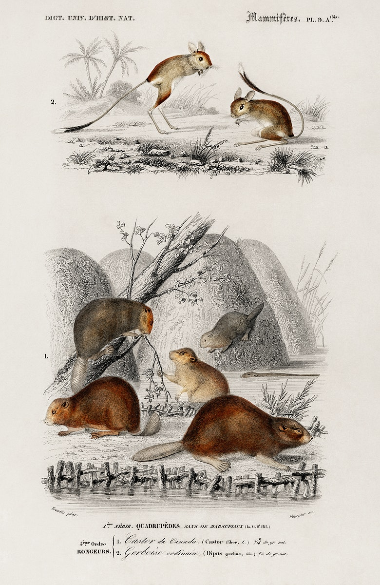 Beaver (Castor) and Jerboa (Dipus) illustrated by Charles Dessalines D' Orbigny (1806-1876) .Digitally enhanced from our own…