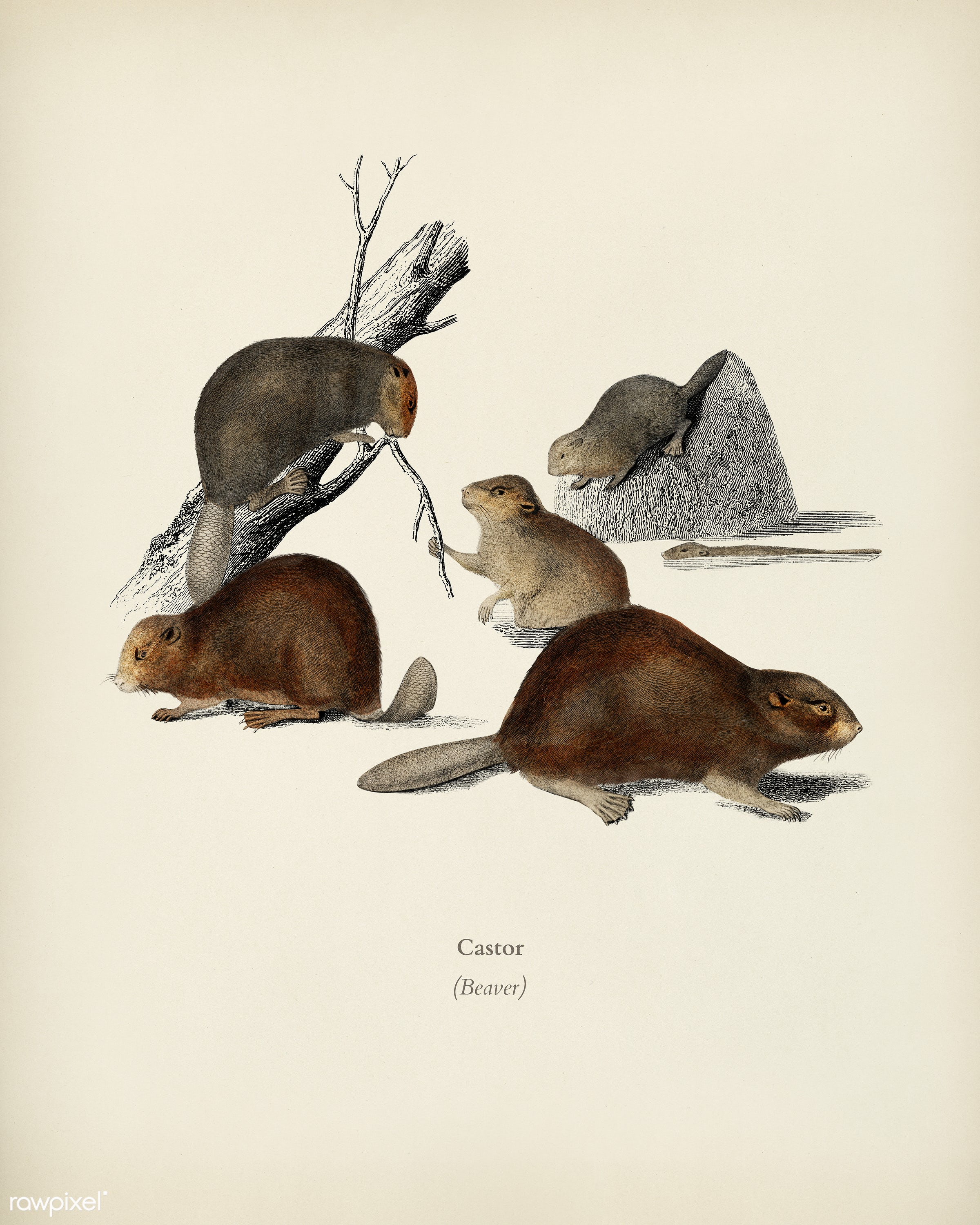 Beaver (Castor) illustrated by Charles Dessalines D' Orbigny (1806-1876). Digitally enhanced from our own 1892 edition...