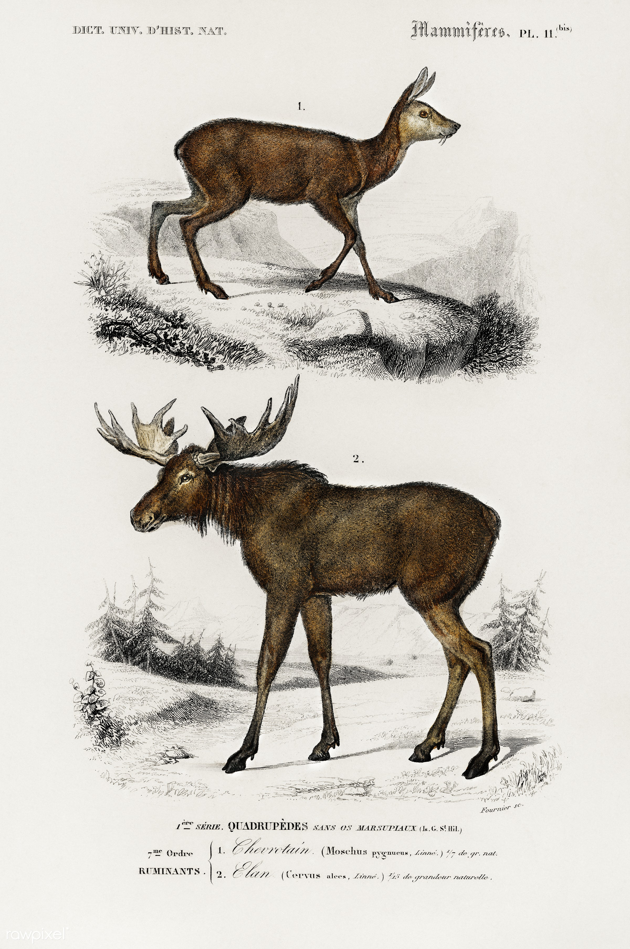 Alces alces and Moschus illustrated by Charles Dessalines D' Orbigny (1806-1876). Digitally enhanced from our own 1892...