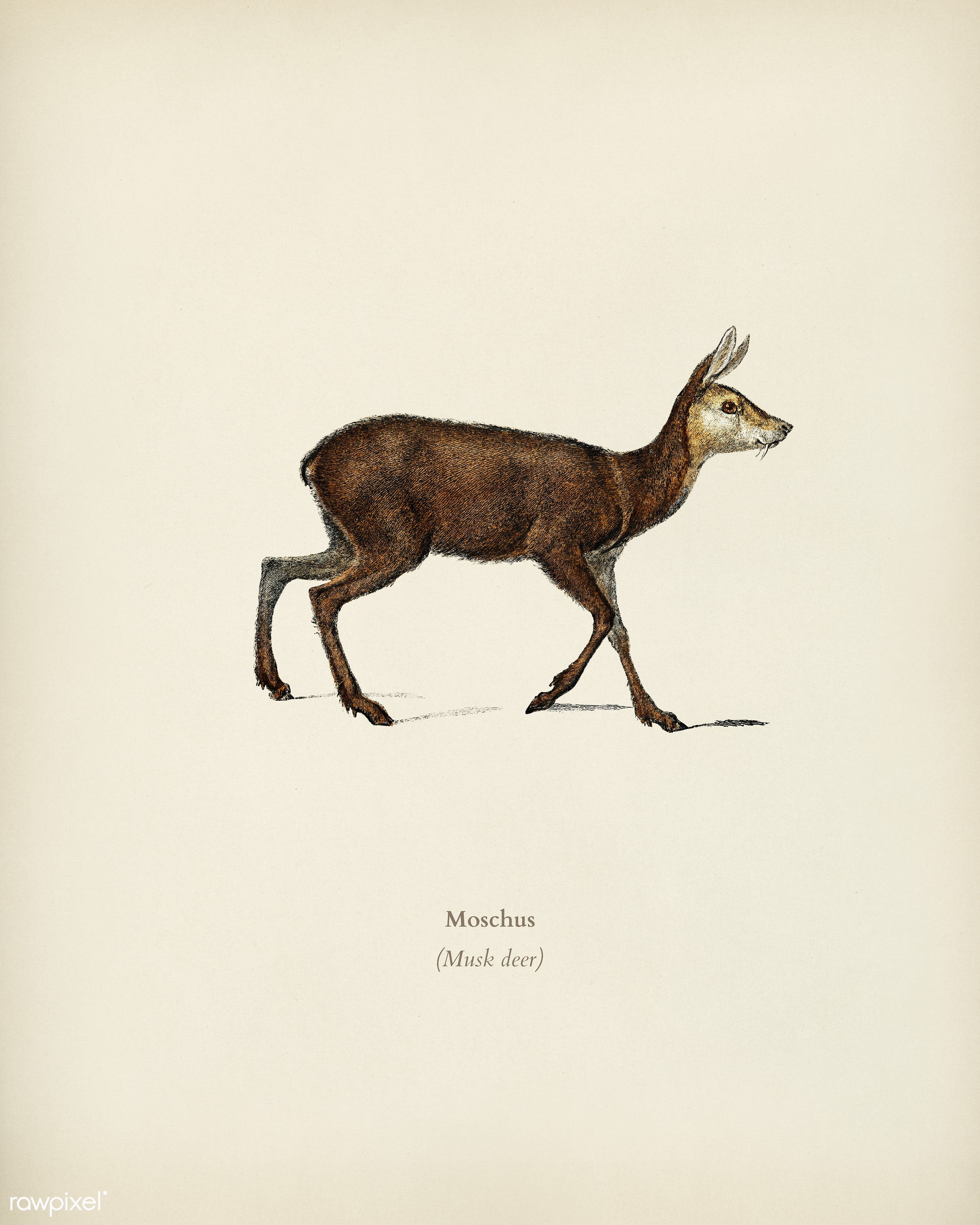 Moschus illustrated by Charles Dessalines D' Orbigny (1806-1876). Digitally enhanced from our own 1892 edition of...