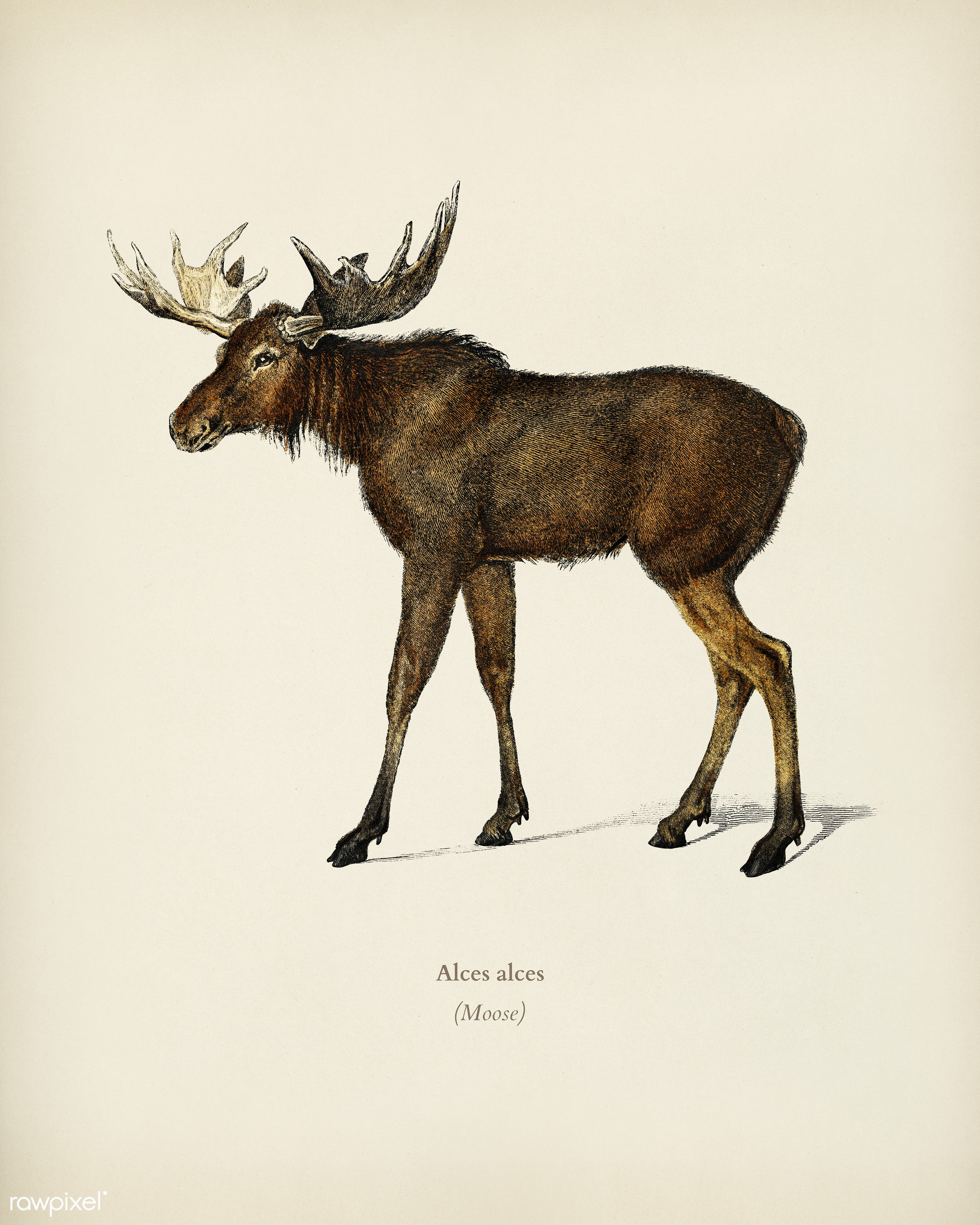 Alces alces illustrated by Charles Dessalines D' Orbigny (1806-1876). Digitally enhanced from our own 1892 edition of...