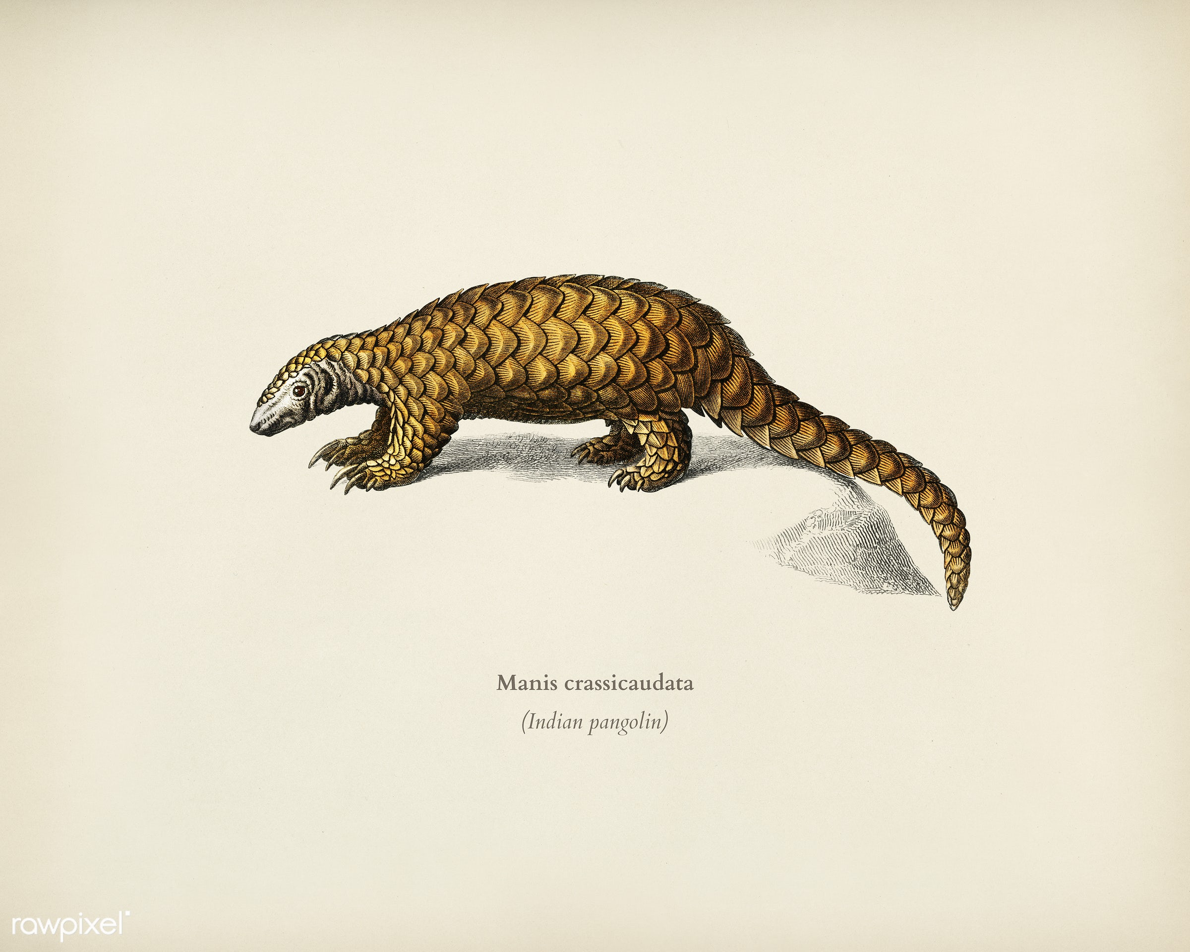 Indian Pangolin (Manis crassicaudata) illustrated by Charles Dessalines D' Orbigny (1806-1876). Digitally enhanced from...