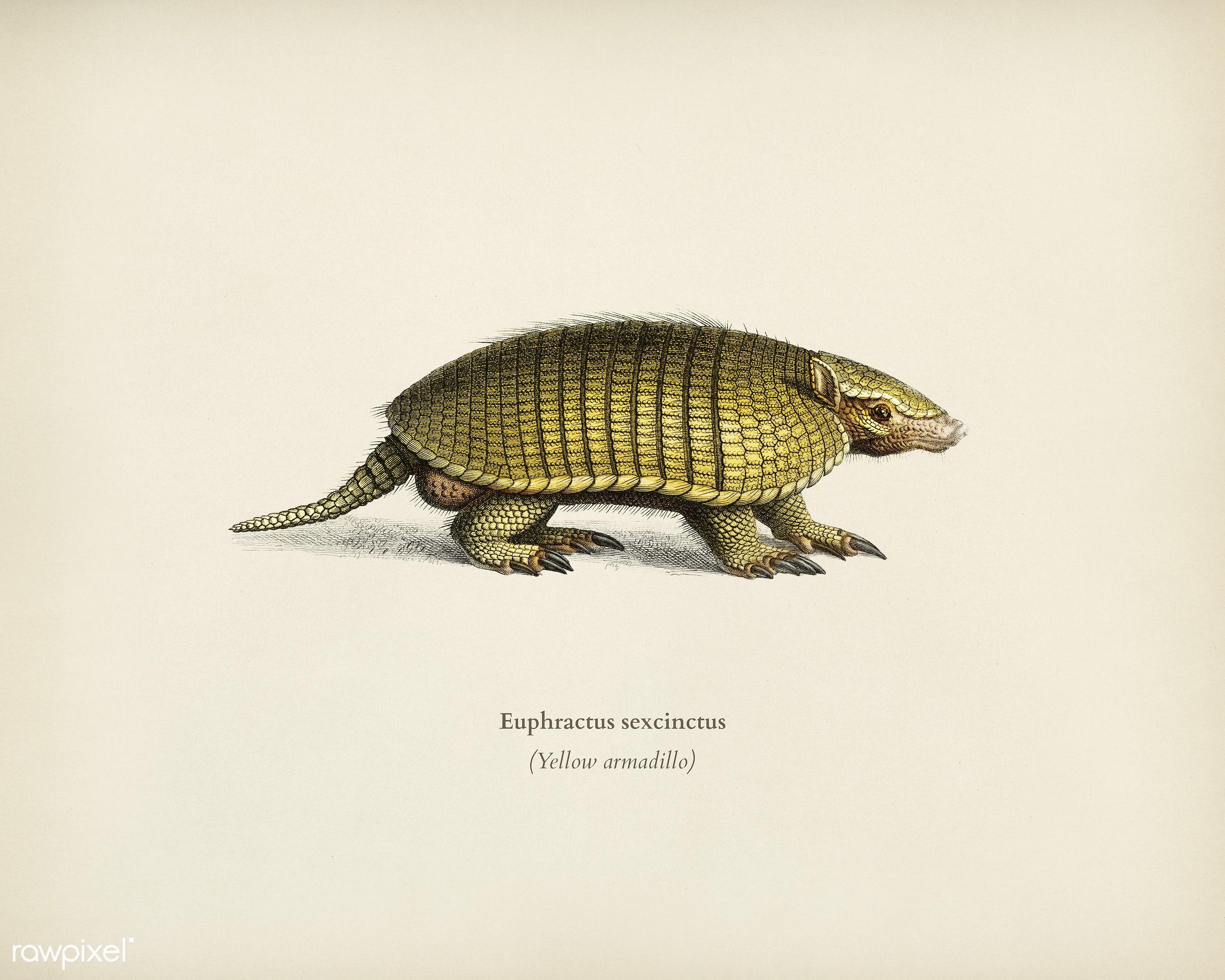 Yellow armadillo (Euphractus sexcinctus) illustrated by Charles Dessalines D' Orbigny (1806-1876). Digitally enhanced...