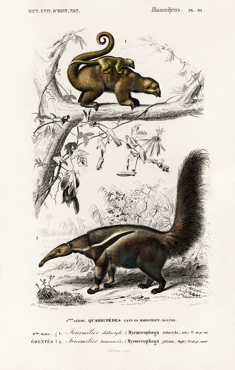 Pygmy anteater (Cyclopes didactylus) and Giant anteater (Myrmecophaga tridactyla) illustrated by Charles Dessalines D'…