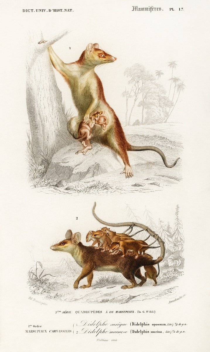 Opossum (Didelphis) and Opossum (Didelphis) illustrated by Charles Dessalines D' Orbigny (1806-1876). Digitally enhanced from…