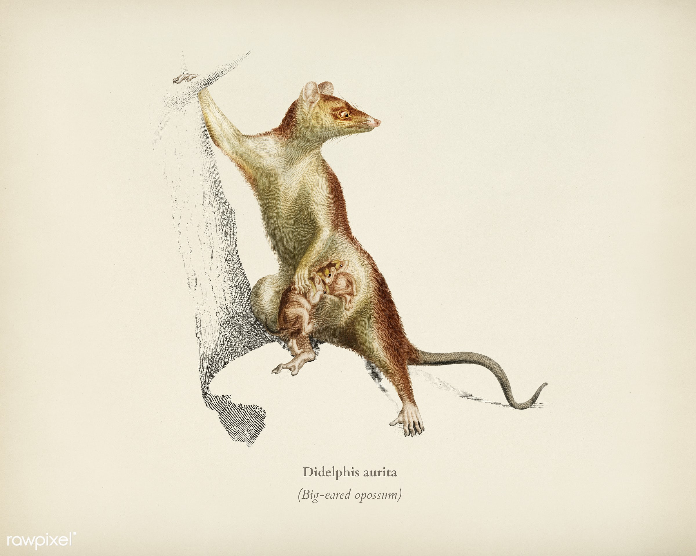 Big-eared opossum (Didelphis aurita) illustrated by Charles Dessalines D' Orbigny (1806-1876). Digitally enhanced from...