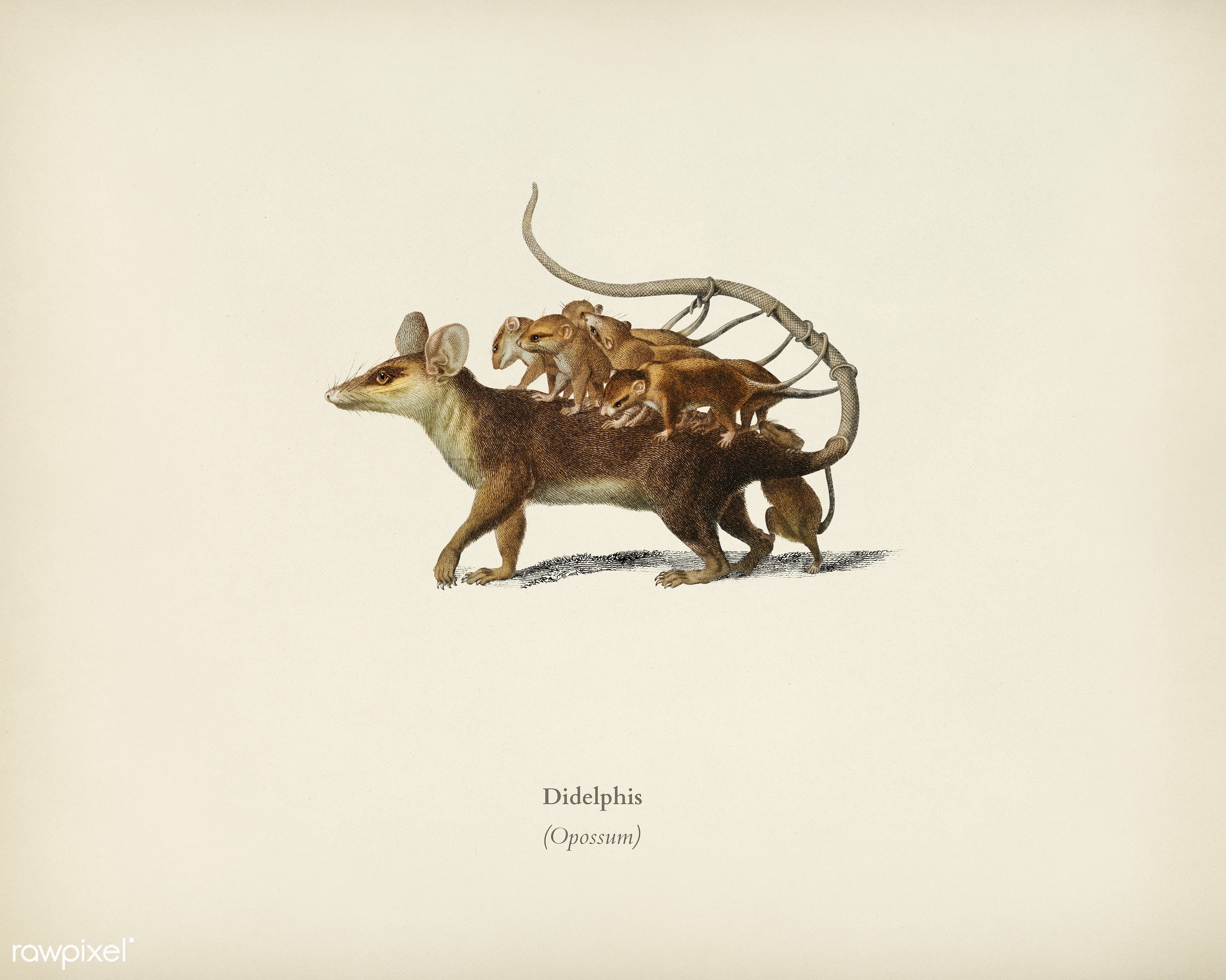 Opossum (Didelphis) illustrated by Charles Dessalines D' Orbigny (1806-1876). Digitally enhanced from our own 1892...