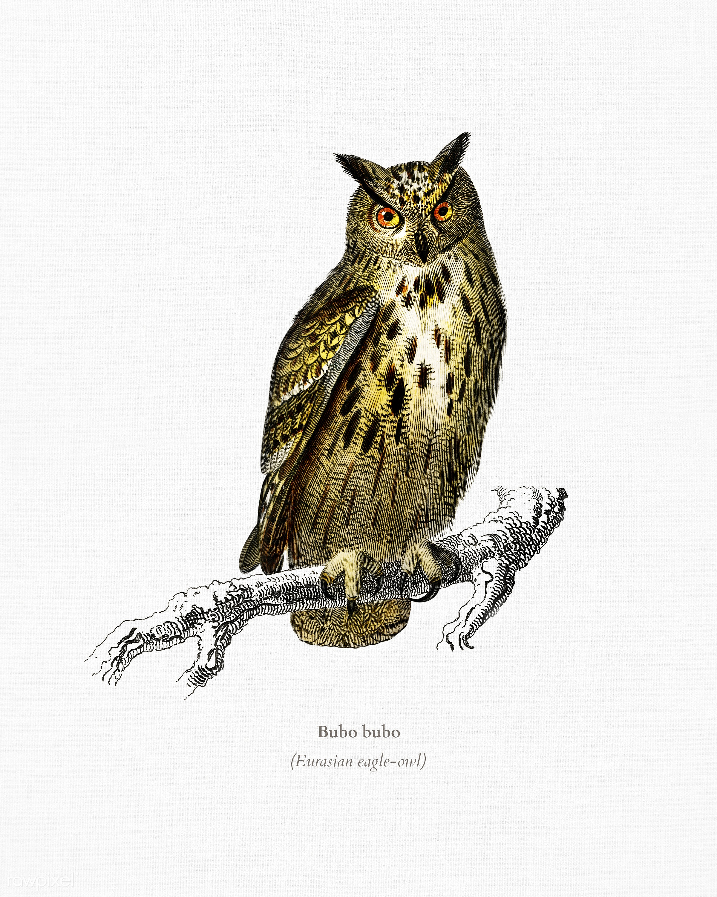 Bubo bubo (Eurasian eagle-owl) illustrated by Charles Dessalines D' Orbigny (1806-1876). Digitally enhanced from our own...