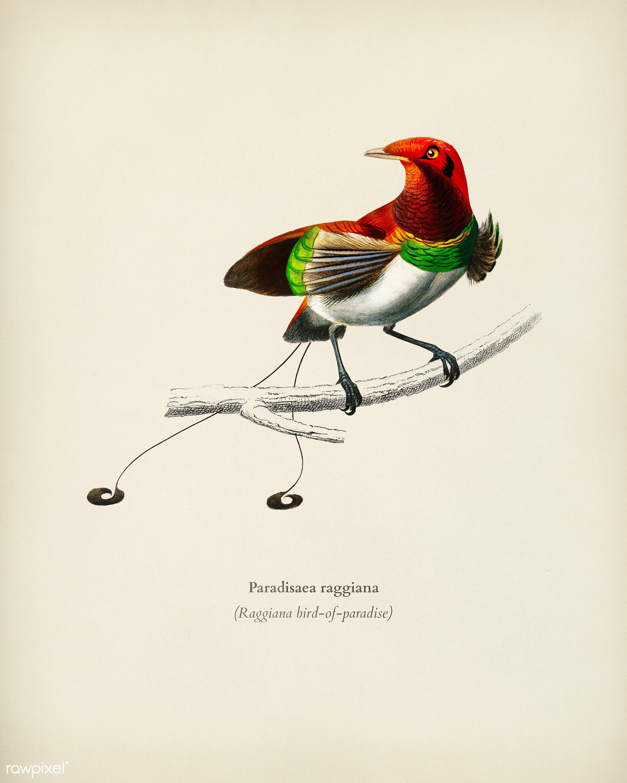 Raggiana bird-of-paradise (Paradisaea raggiana) illustrated by Charles Dessalines D' Orbigny (1806-1876). Digitally...