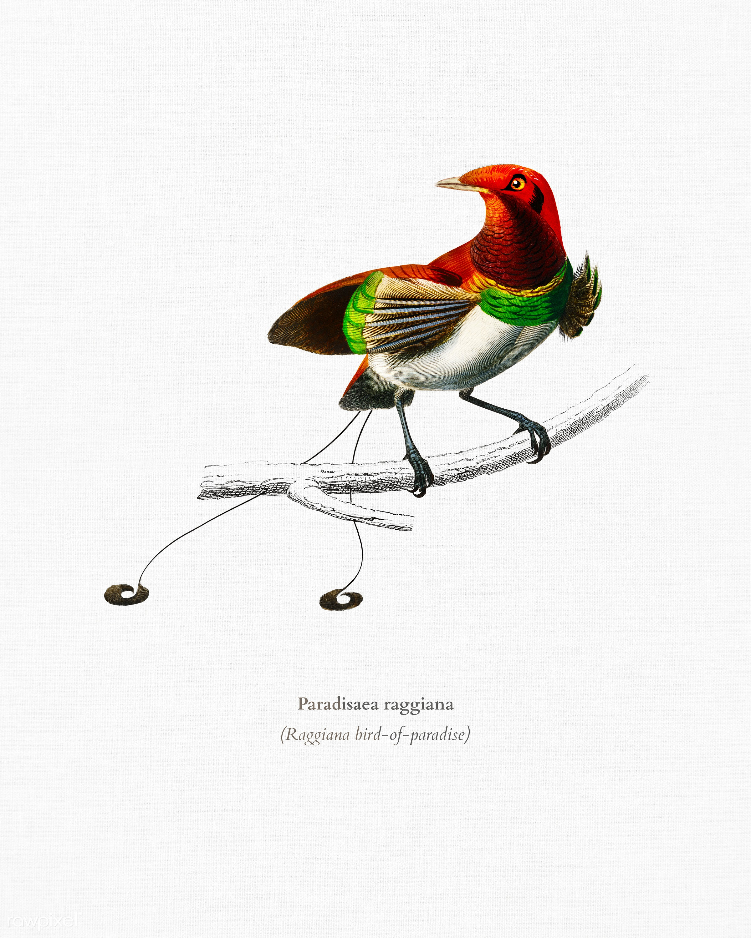 Raggiana bird-of-paradise (Paradisaea raggiana) illustrated by Charles Dessalines D' Orbigny (1806-1876). Digitally...