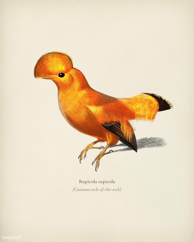 Guianan cock-of-the-rock (Rupicola rupicola) illustrated by Charles Dessalines D' Orbigny (1806-1876). Digitally...