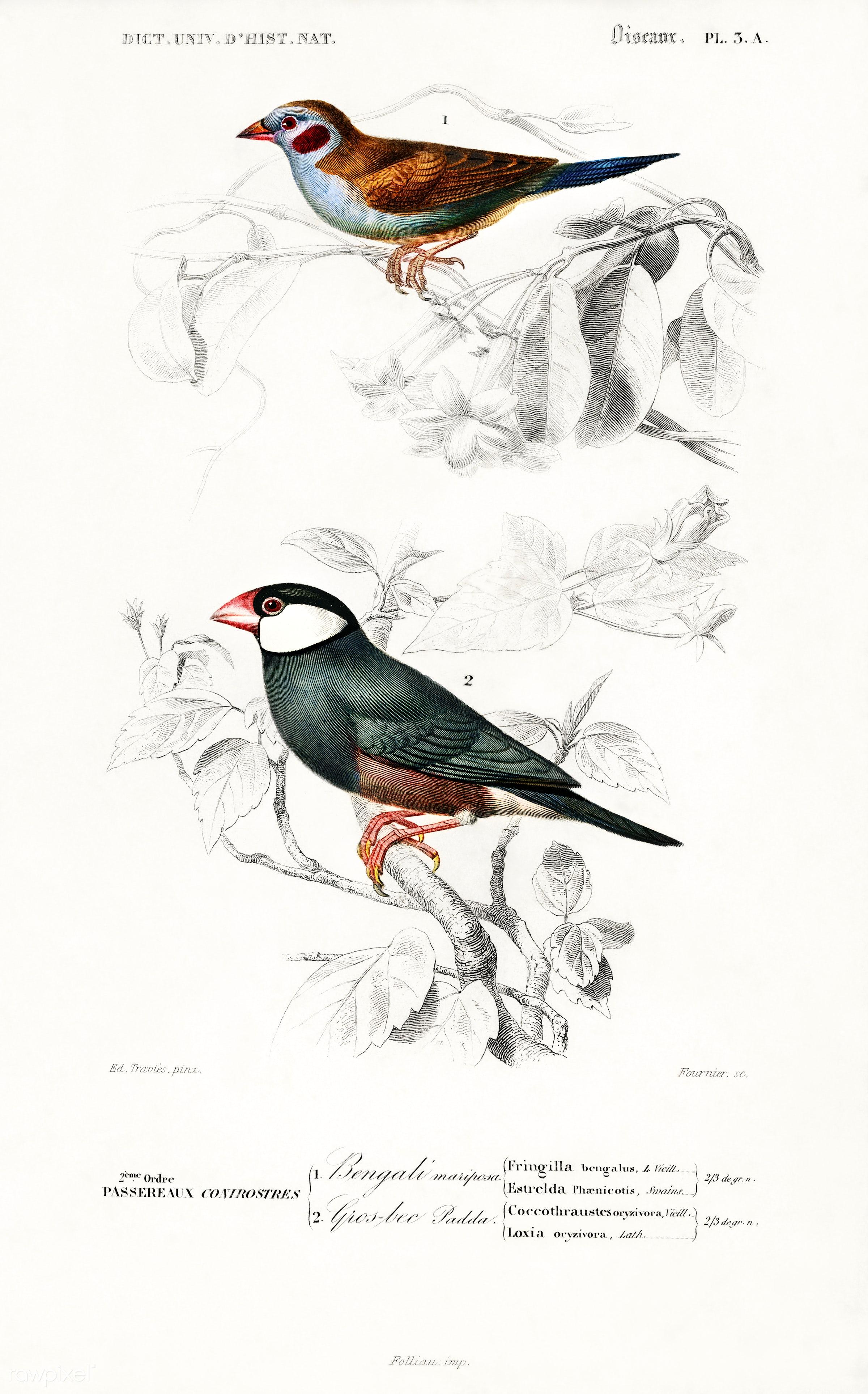 Red-cheeked Cordonbleu (Uraeginthus Bengalus) and Java Sparrow (Lonchura Oryzivora) illustrated by Charles Dessalines D...