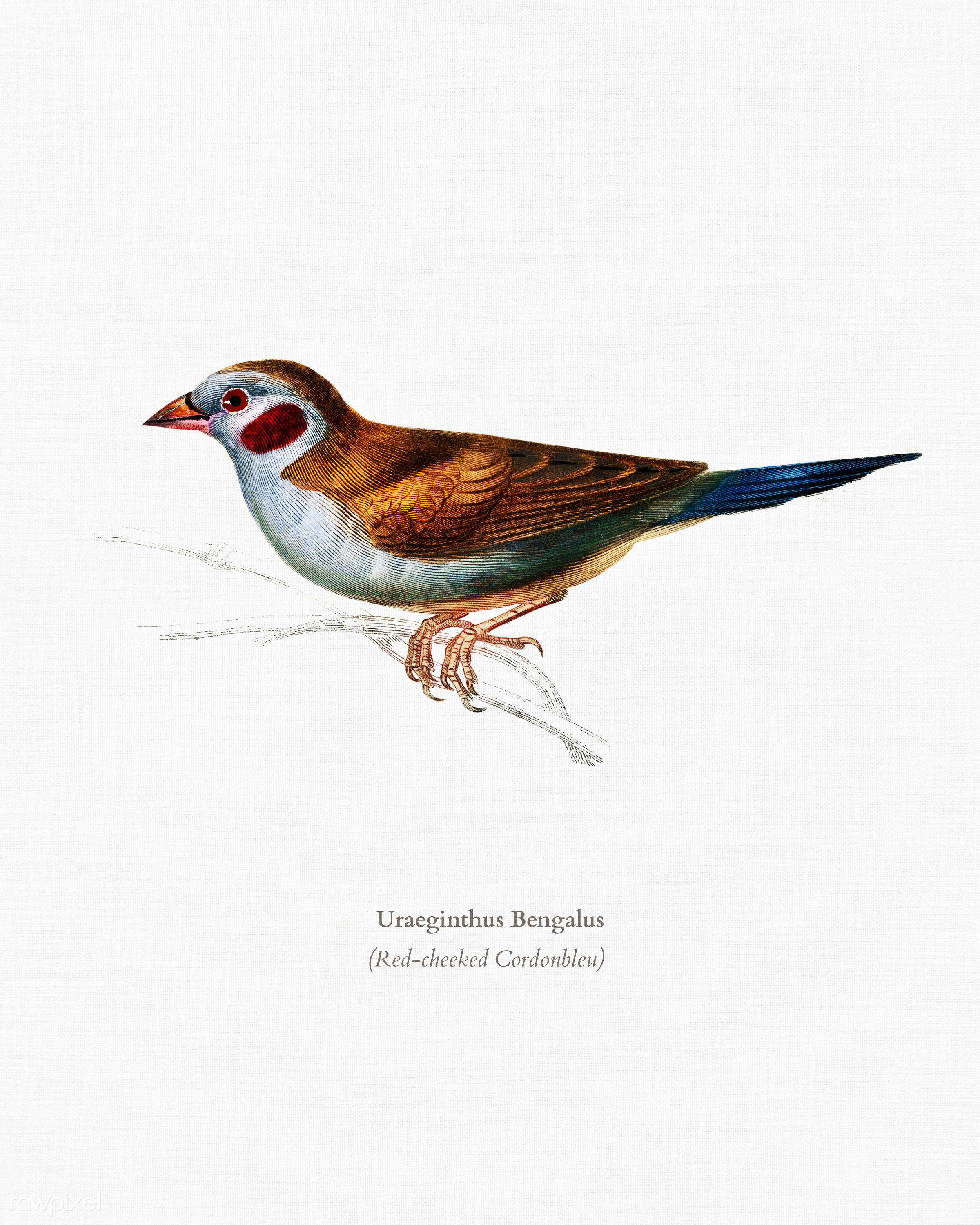 Red-cheeked Cordonbleu (Uraeginthus Bengalus) illustrated by Charles Dessalines D' Orbigny (1806-1876). Digitally...