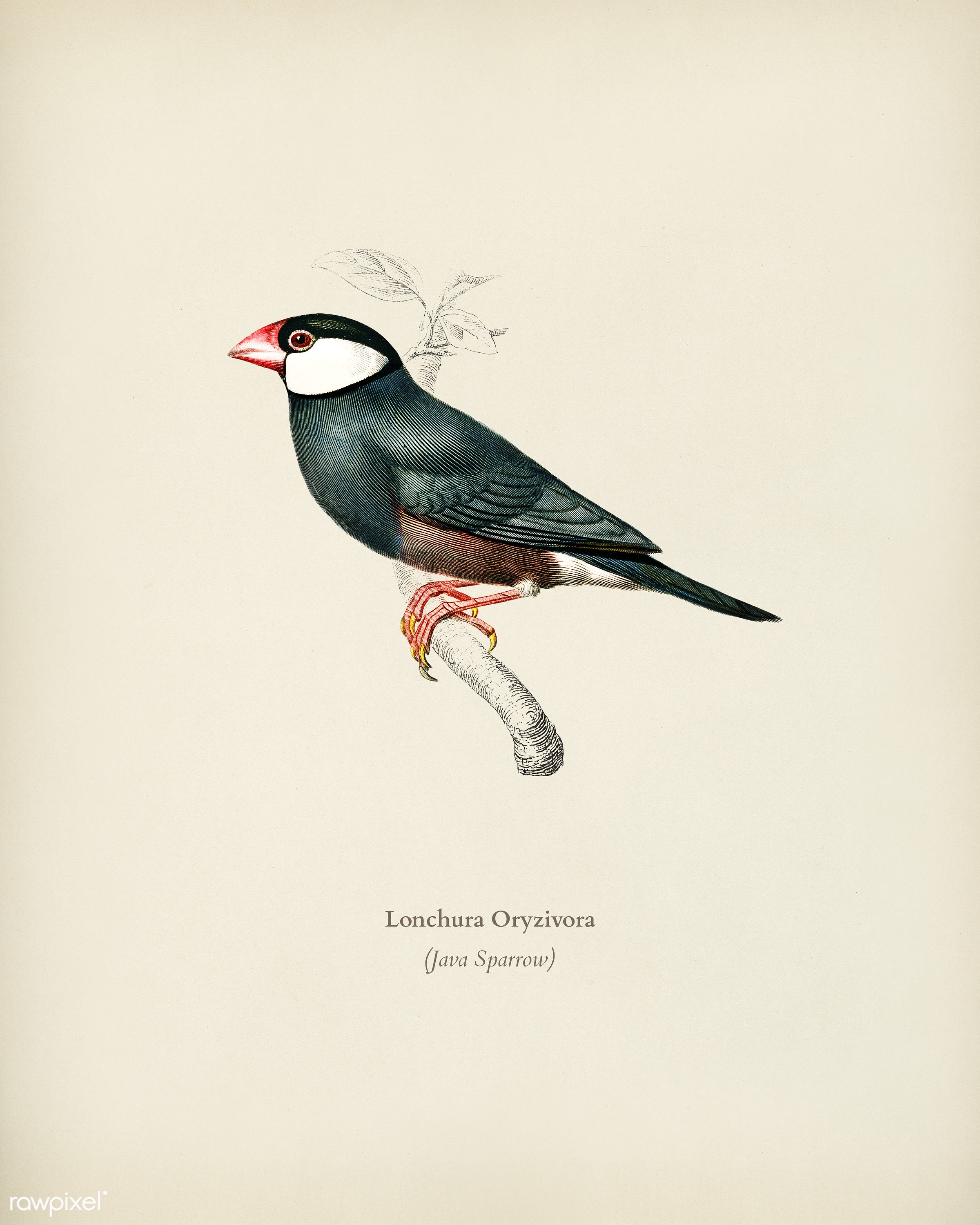 Java Sparrow (Lonchura Oryzivora) illustrated by Charles Dessalines D' Orbigny (1806-1876). Digitally enhanced from our...