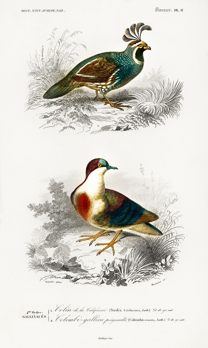 Different types of birds illustrated by Charles Dessalines D' Orbigny (1806-1876). Digitally enhanced from our own 1892…