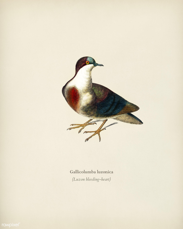 Luzon bleeding-heart (Gallicolumba luzonica) illustrated by Charles Dessalines D' Orbigny (1806-1876). Digitally...