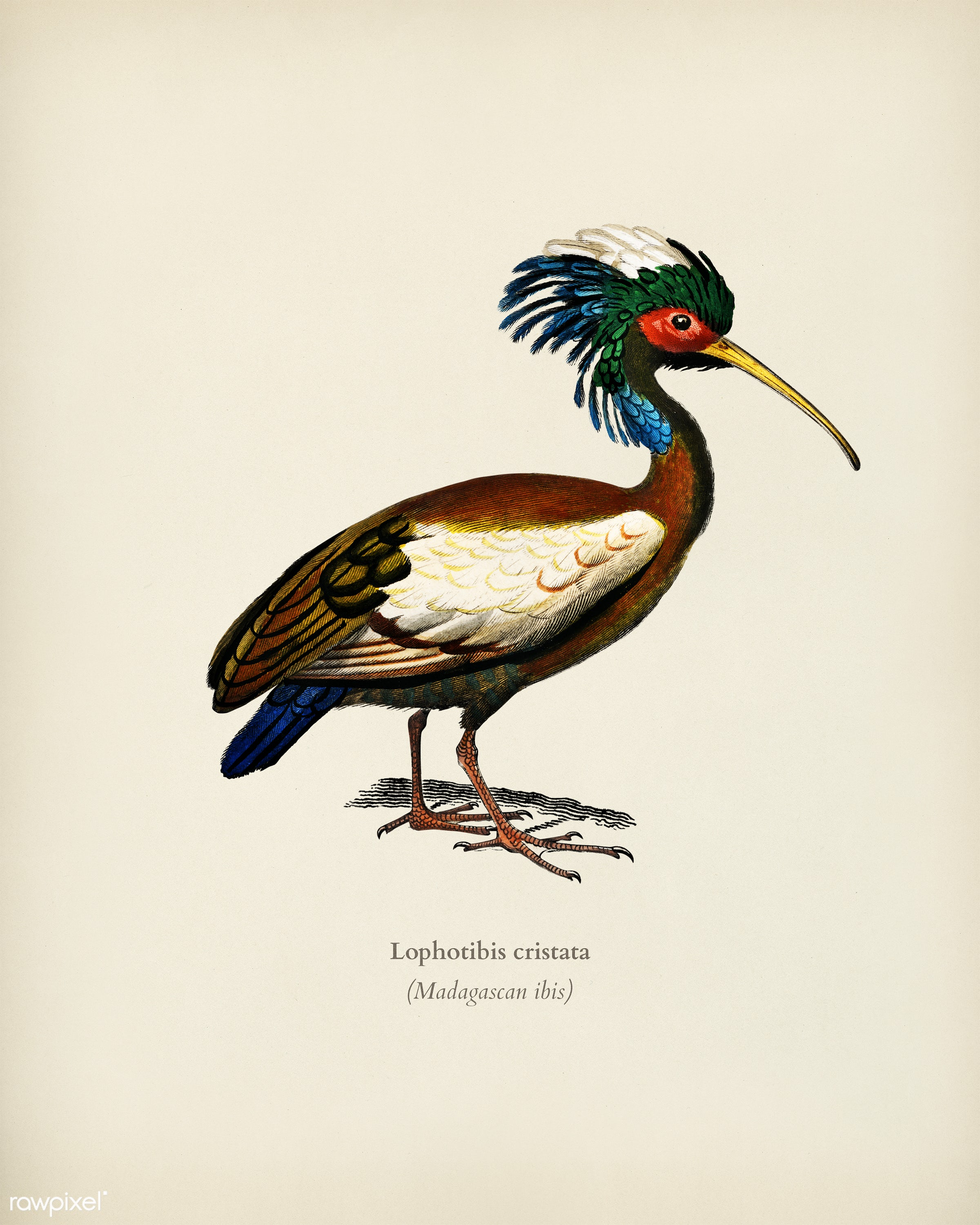 Madagascan ibis (Lophotibis cristata) illustrated by Charles Dessalines D' Orbigny (1806-1876). Digitally enhanced from...