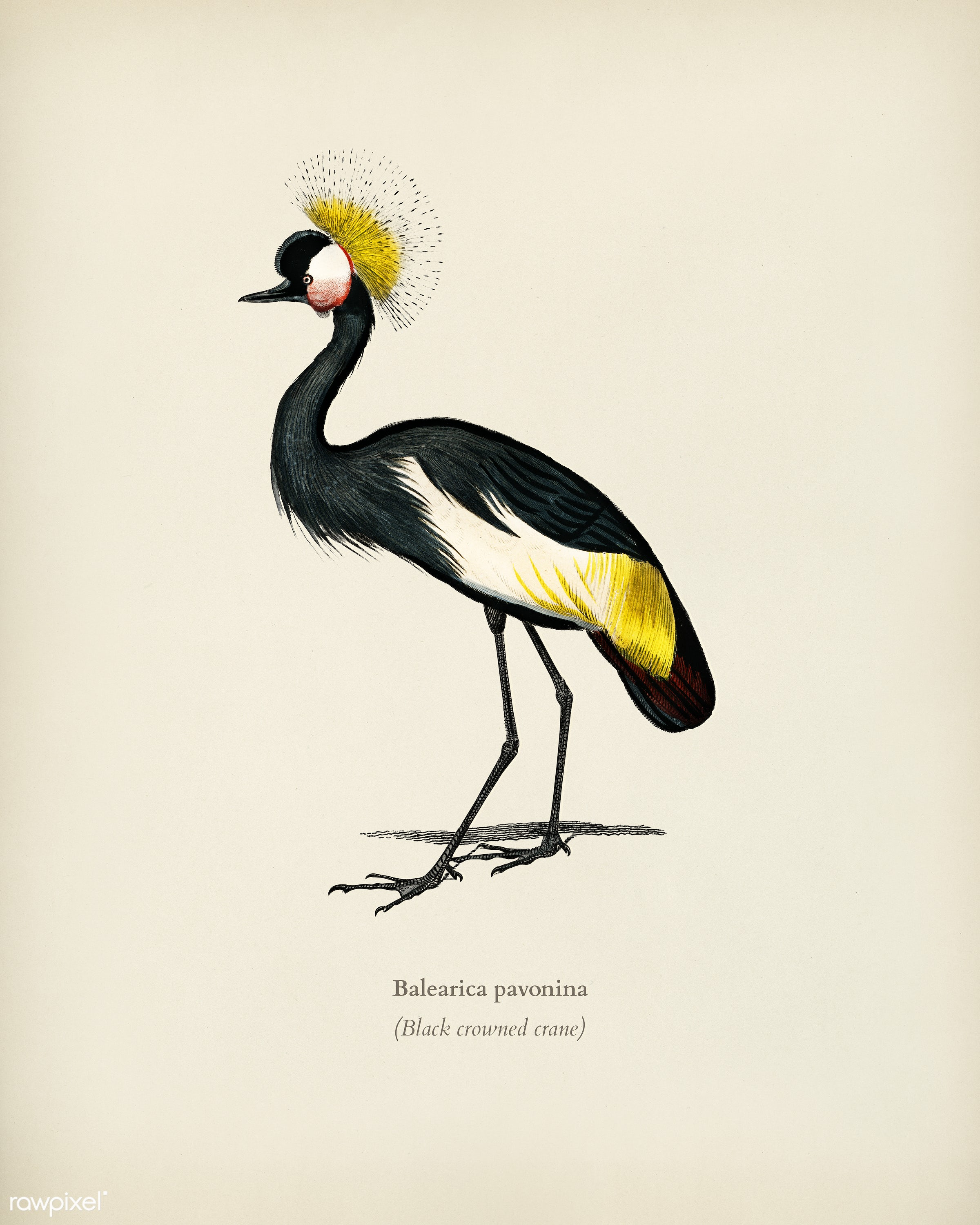 Black crowned crane (Balearica pavonina) illustrated by Charles Dessalines D' Orbigny (1806-1876). Digitally enhanced...