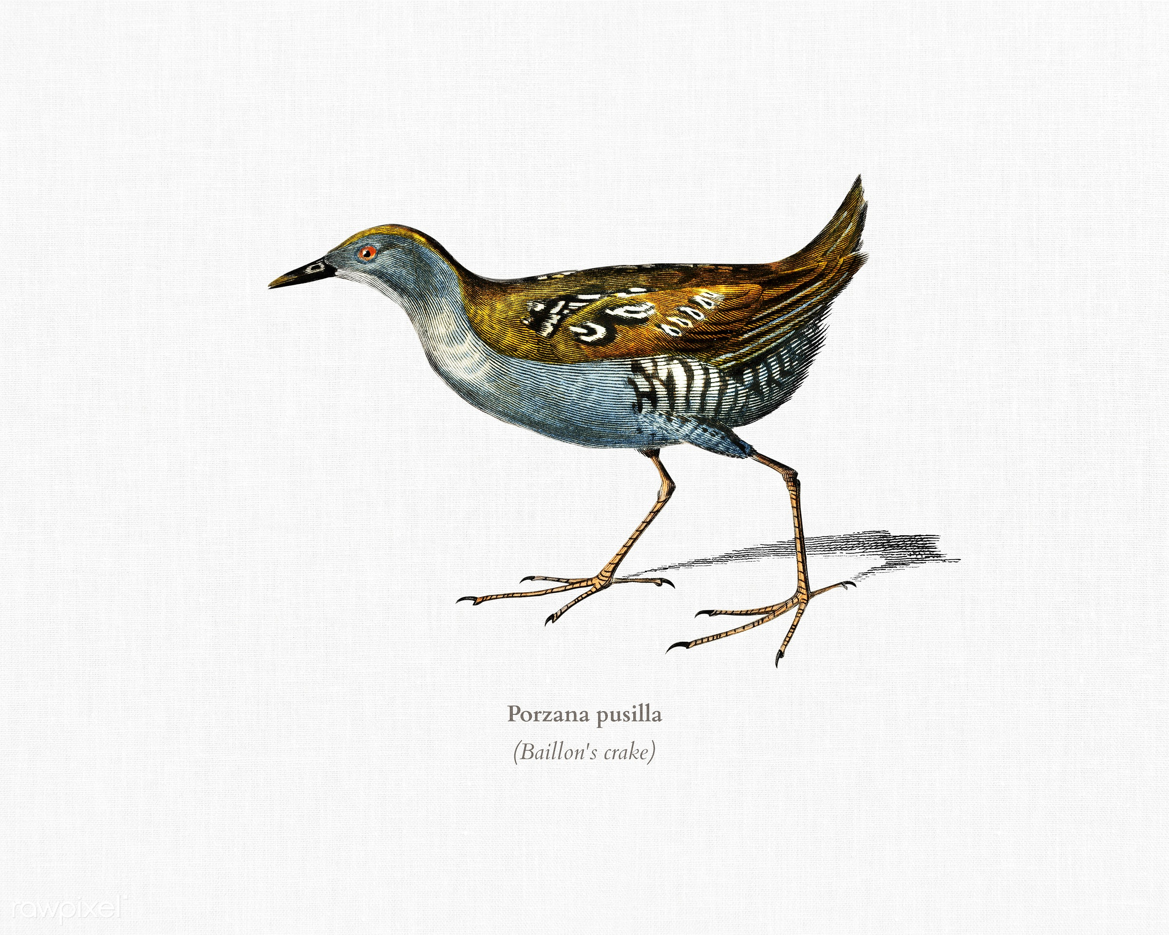 Baillon's crake (Porzana pusilla) illustrated by Charles Dessalines D' Orbigny (1806-1876). Digitally enhanced from...