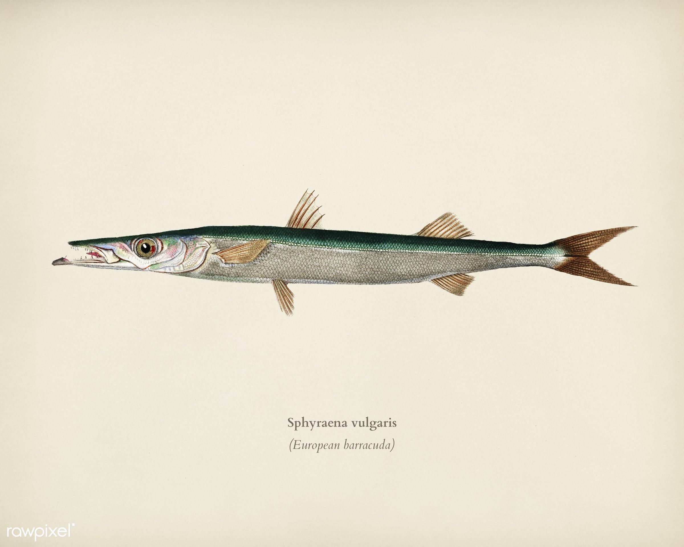 Sphyraena vulgaris illustrated by Charles Dessalines D' Orbigny (1806-1876). Digitally enhanced from our own 1892...