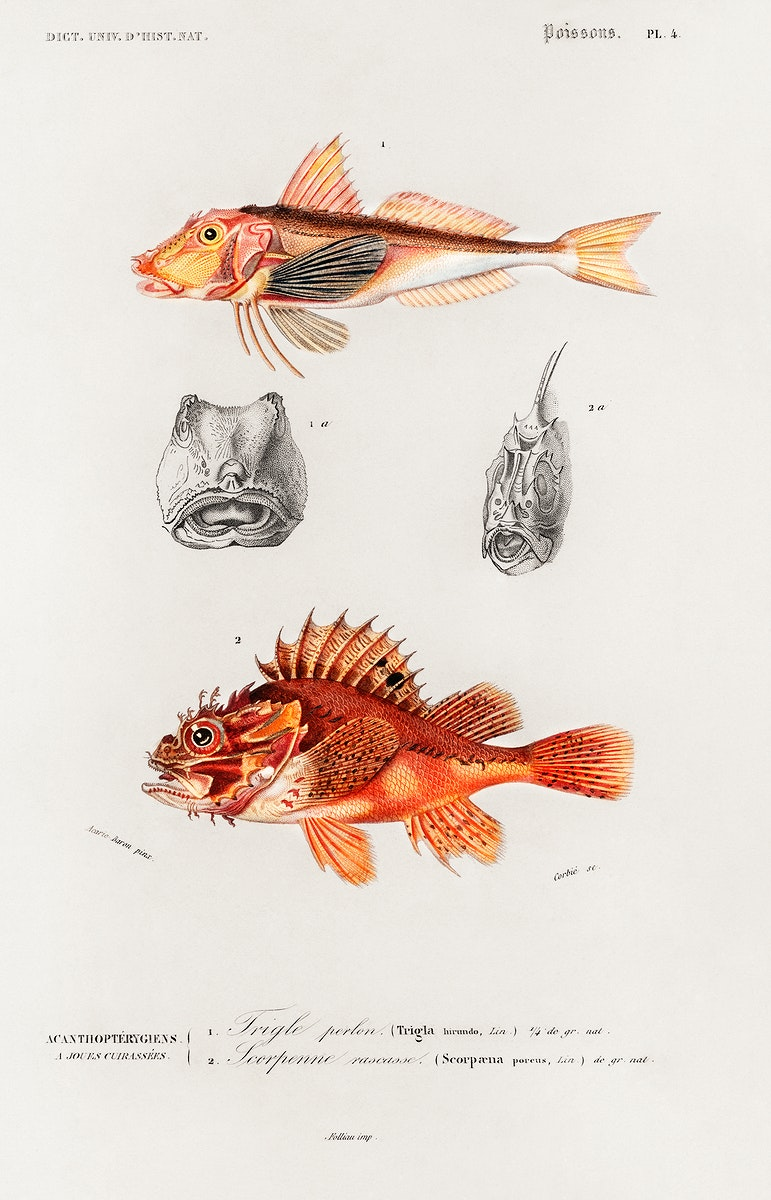 Different types of fishes illustrated by Charles Dessalines D' Orbigny (1806-1876). Digitally enhanced from our own 1892…