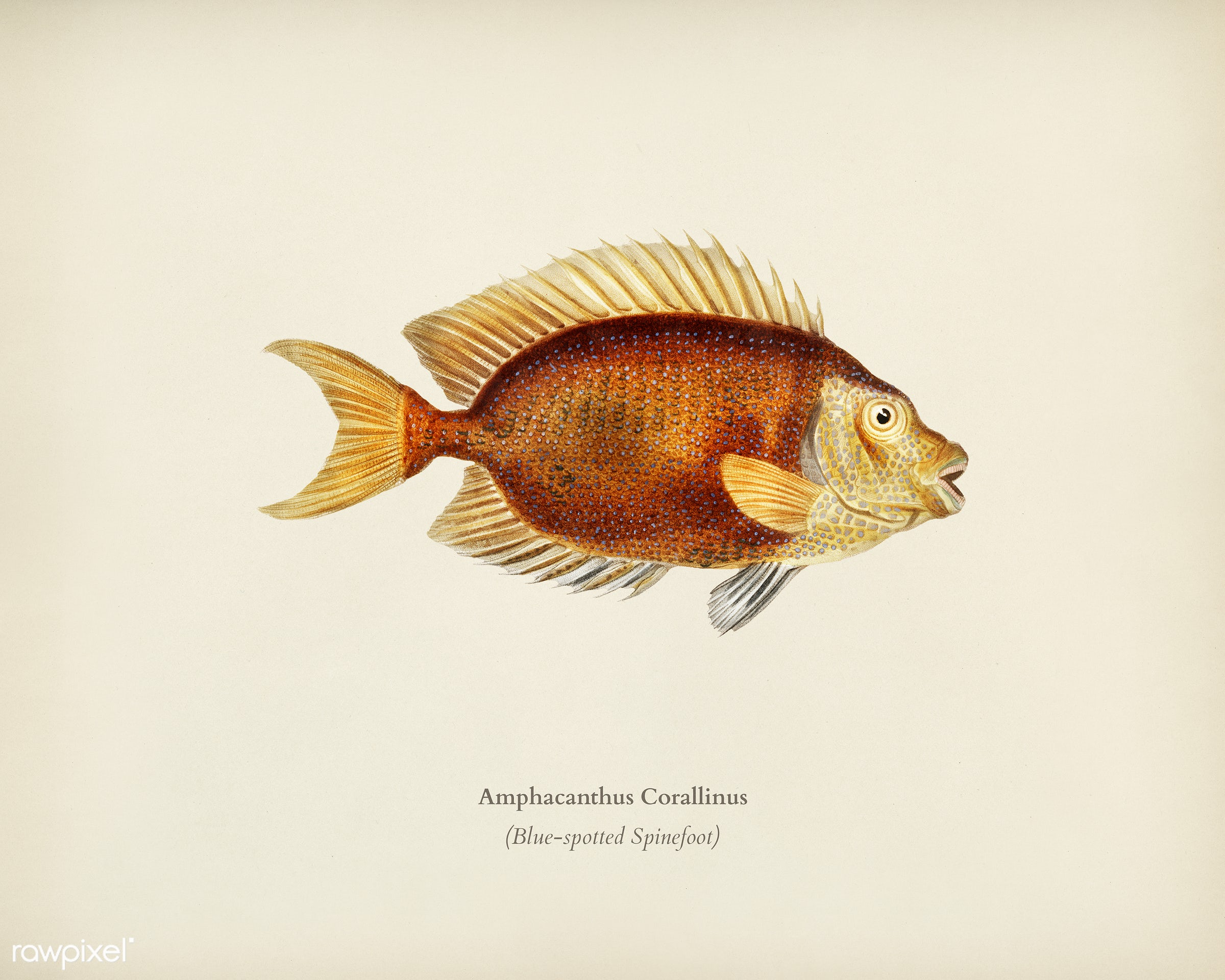 Blue-spotted Spinefoot (Amphacanthus Corallinus) illustrated by Charles Dessalines D' Orbigny (1806-1876). Digitally...
