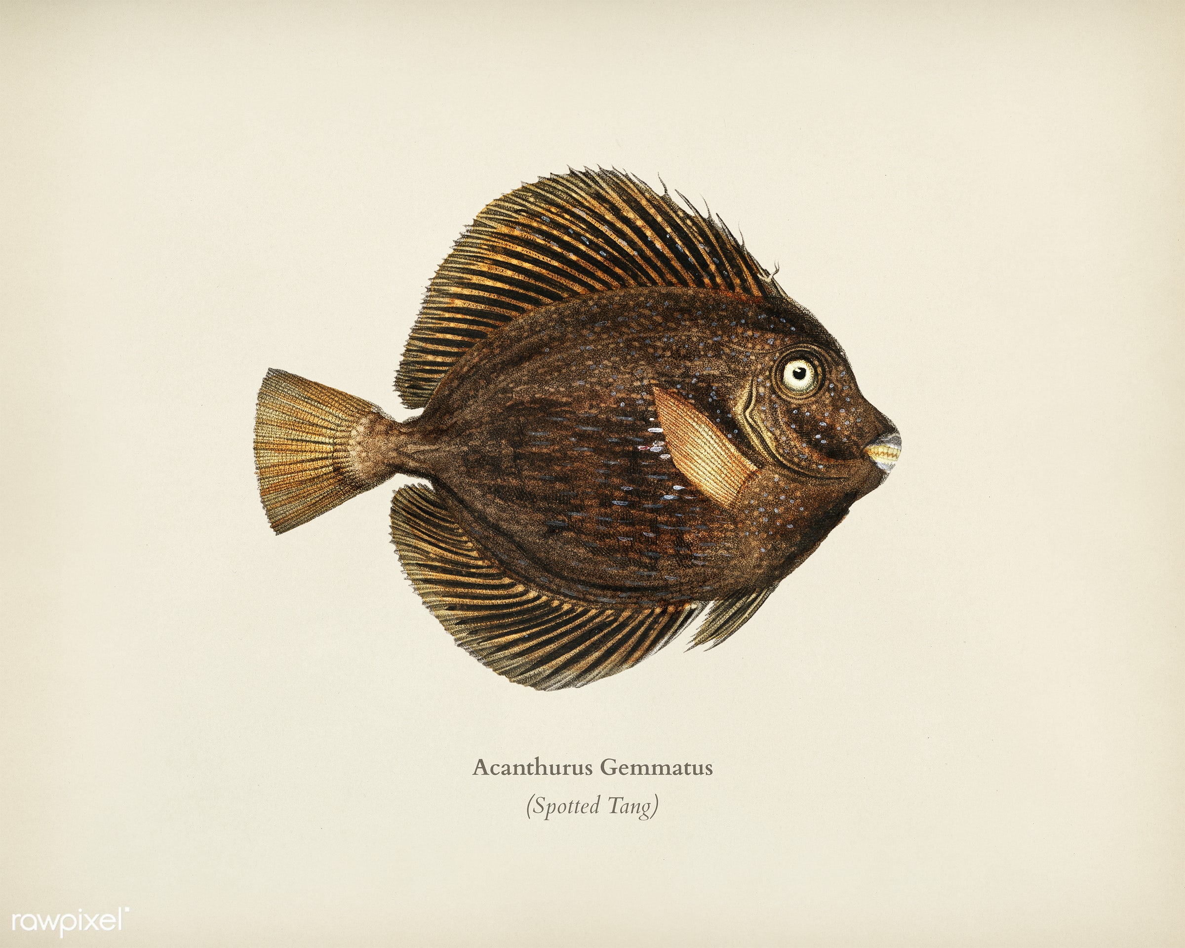 Spotted Tang (Acanthurus Gemmatus) illustrated by Charles Dessalines D' Orbigny (1806-1876). Digitally enhanced from our...