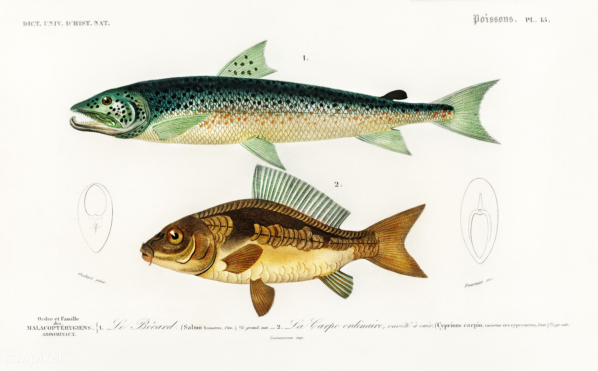 Salmo Hamatus and Cyprinus Carpio illustrated by Charles Dessalines D' Orbigny (1806-1876). Digitally enhanced from our...