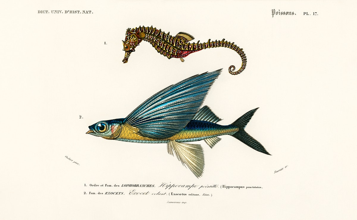 Lined seahorse (Hippocampus Erectus) and Stropical two wing flying fish (Exocoetus Volitan) illustrated by Charles Dessalines…