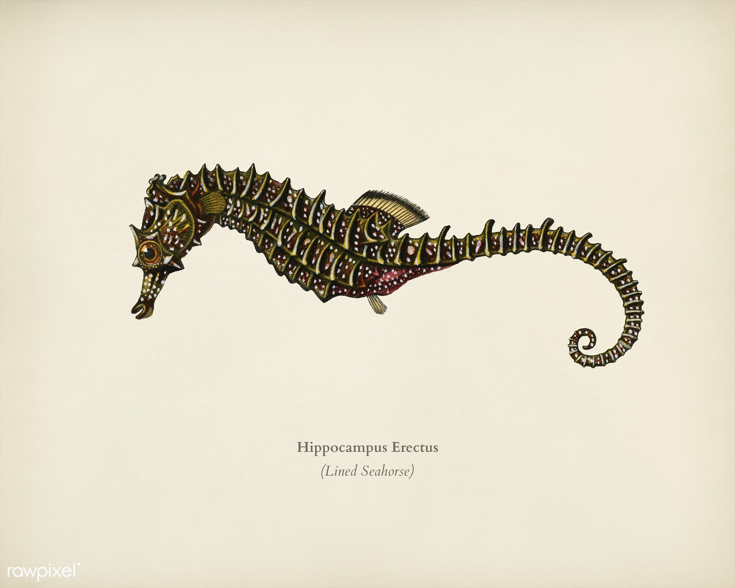 Lined seahorse (Hippocampus Erectus) illustrated by Charles Dessalines D' Orbigny (1806-1876). Digitally enhanced from...