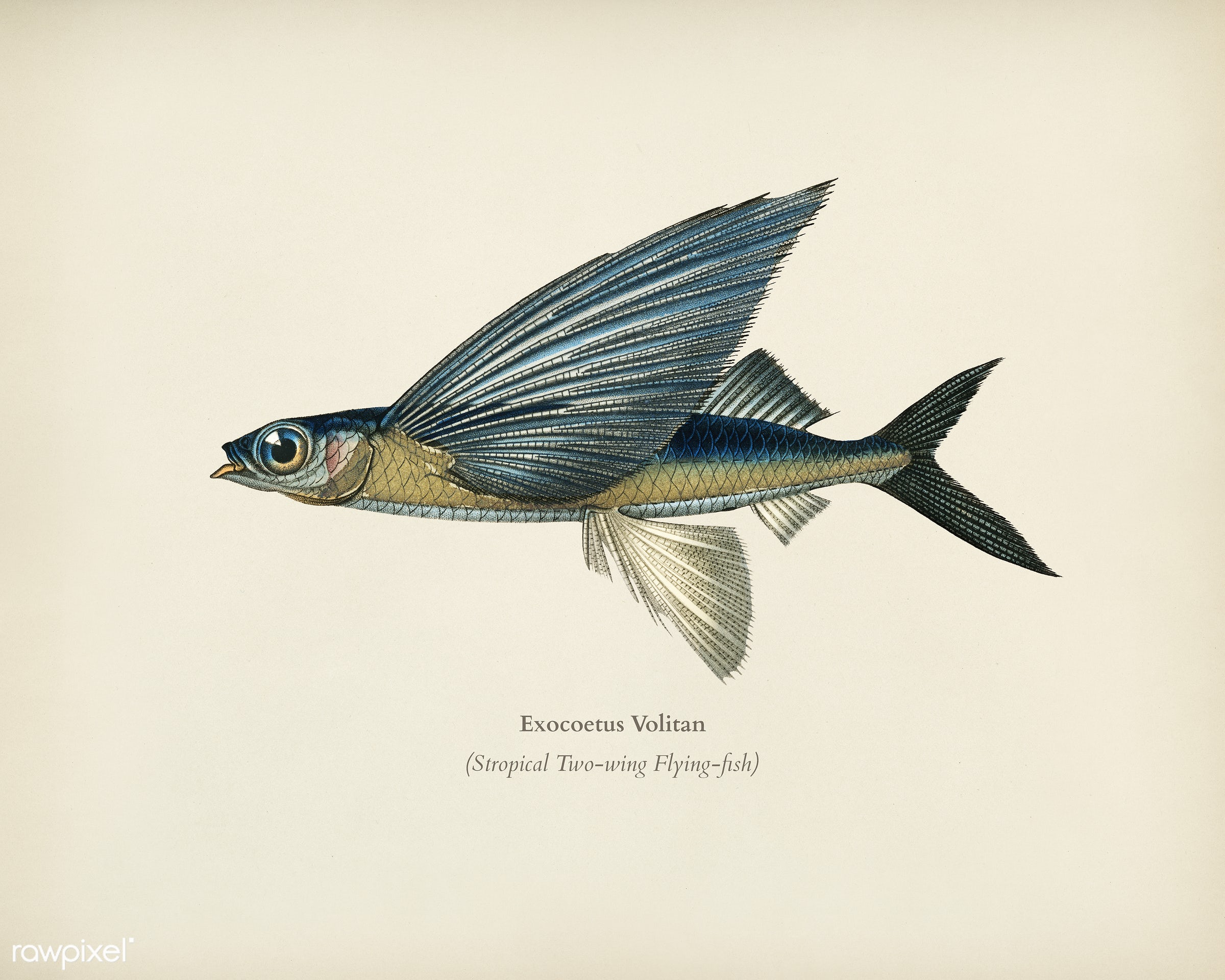 Stropical two wing flying fish (Exocoetus Volitan) illustrated by Charles Dessalines D' Orbigny (1806-1876). Digitally...