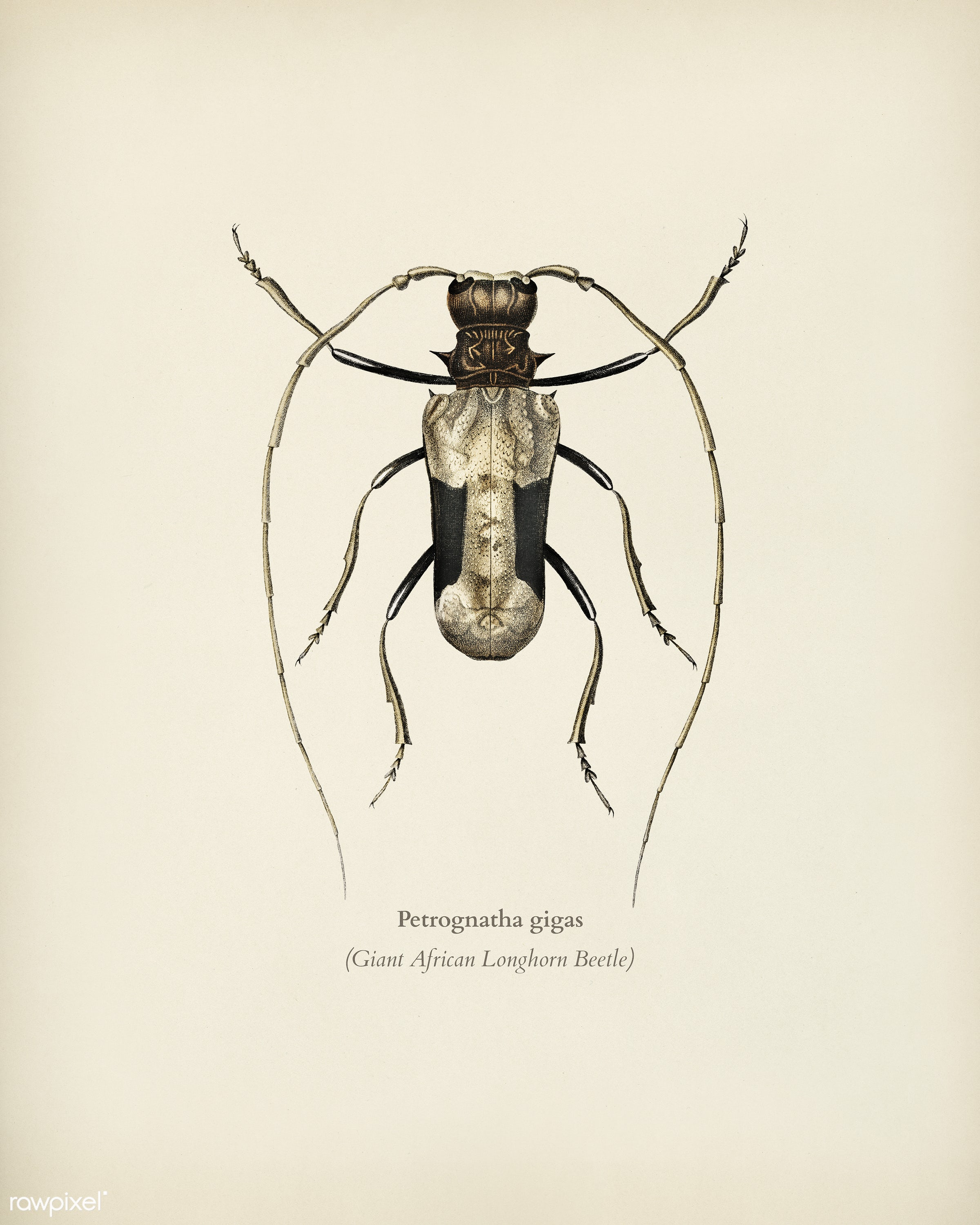Giant African Longhorn Beetle (Petrognatha gigas) illustrated by Charles Dessalines D' Orbigny (1806-1876). Digitally...
