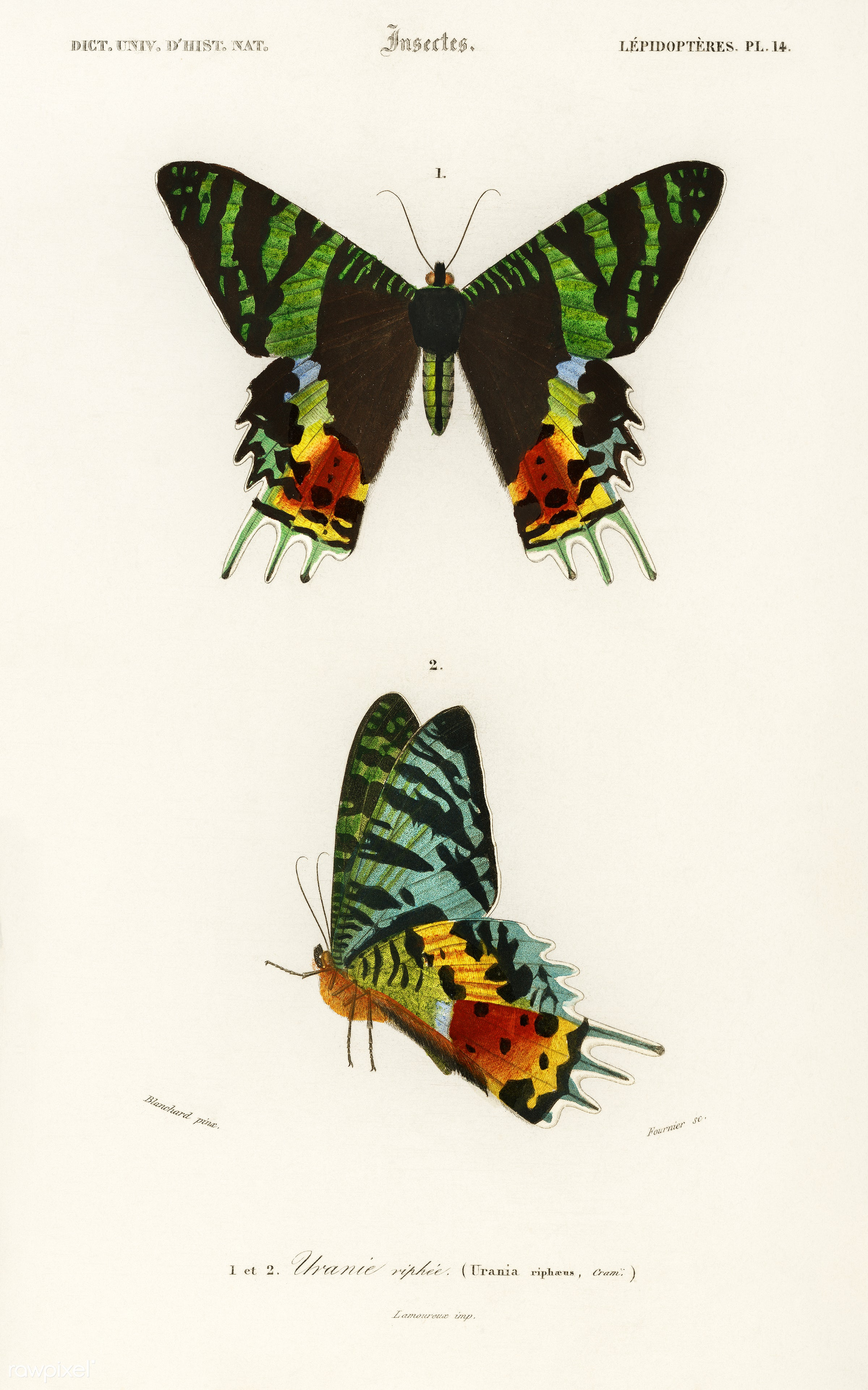 Madagascan Sunset Moth (Urania Riphaeus) illustrated by Charles Dessalines D' Orbigny (1806-1876). Digitally enhanced...
