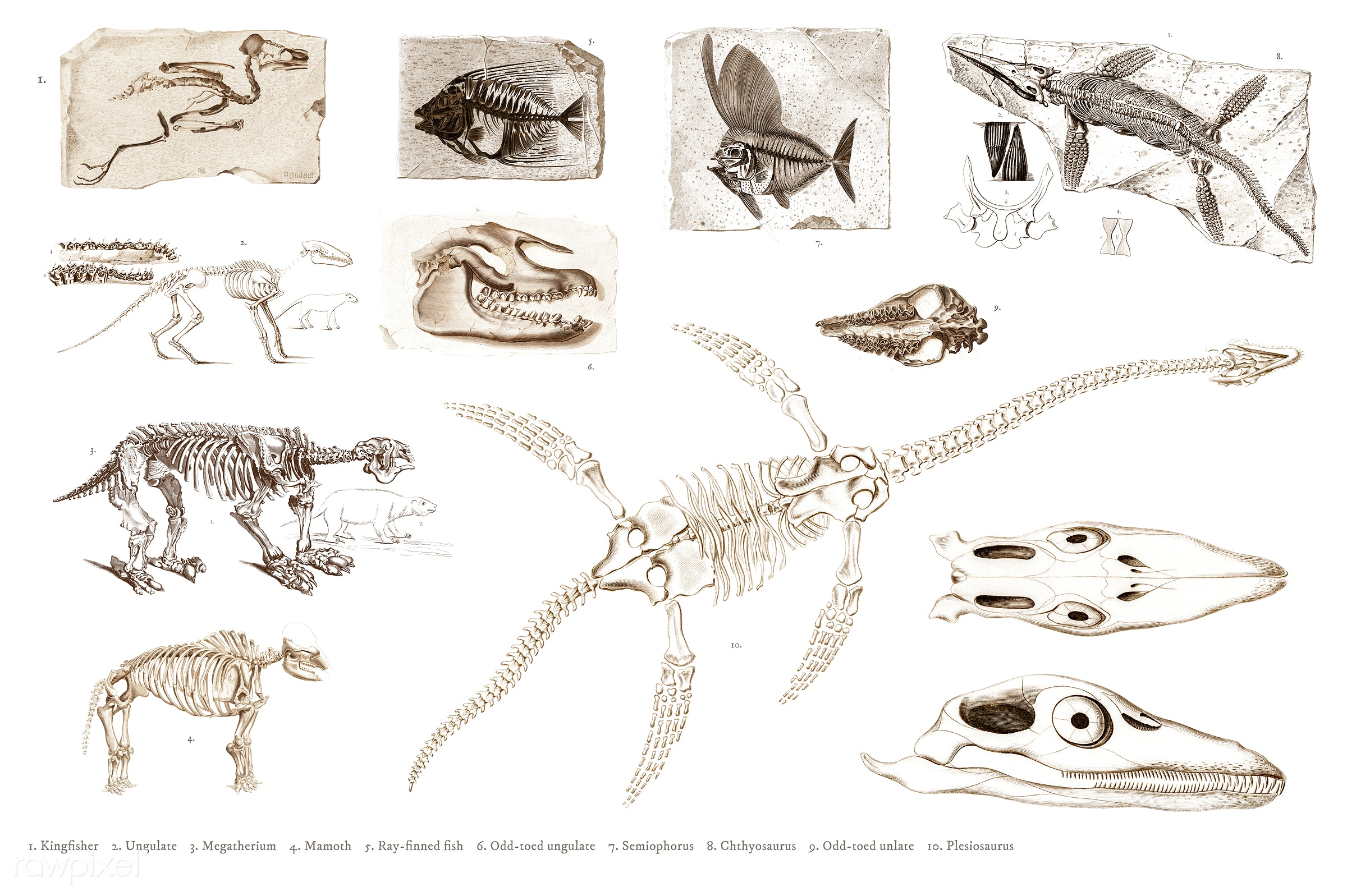 Different types of ancient fossils illustrated by Charles Dessalines D' Orbigny (1806-1876). Digitally enhanced from our...