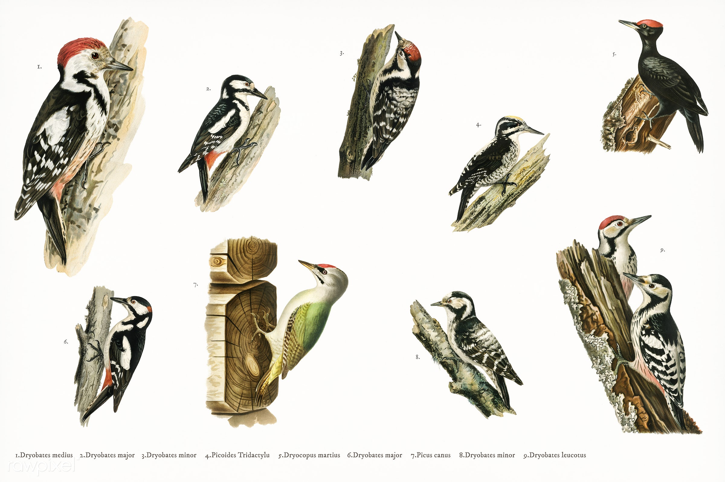 Hand drawing of birds collection illustrated by the von Wright brothers. Digitally enhanced from our own 1929 folio version...