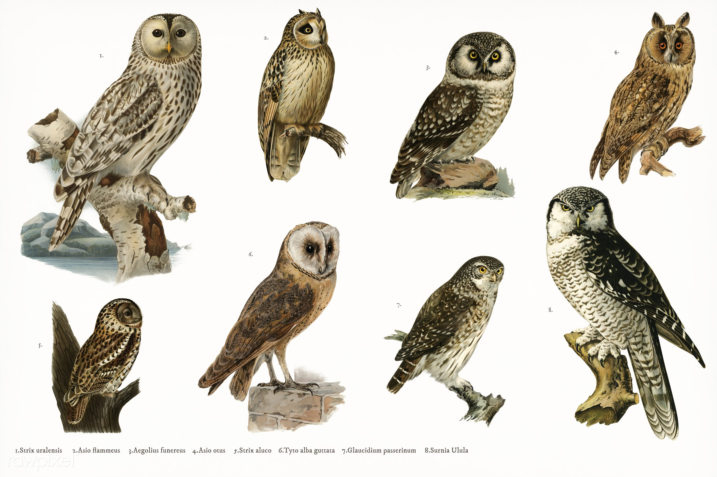 Hand drawing set of owls illustrated by the von Wright brothers. Digitally enhanced from our own 1929 folio version of...