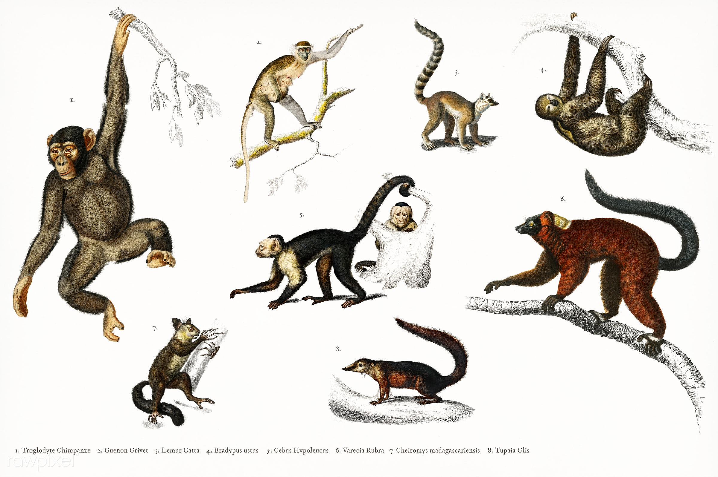 Different types of monkeys illustrated by Charles Dessalines D' Orbigny (1806-1876). Digitally enhanced from our own...