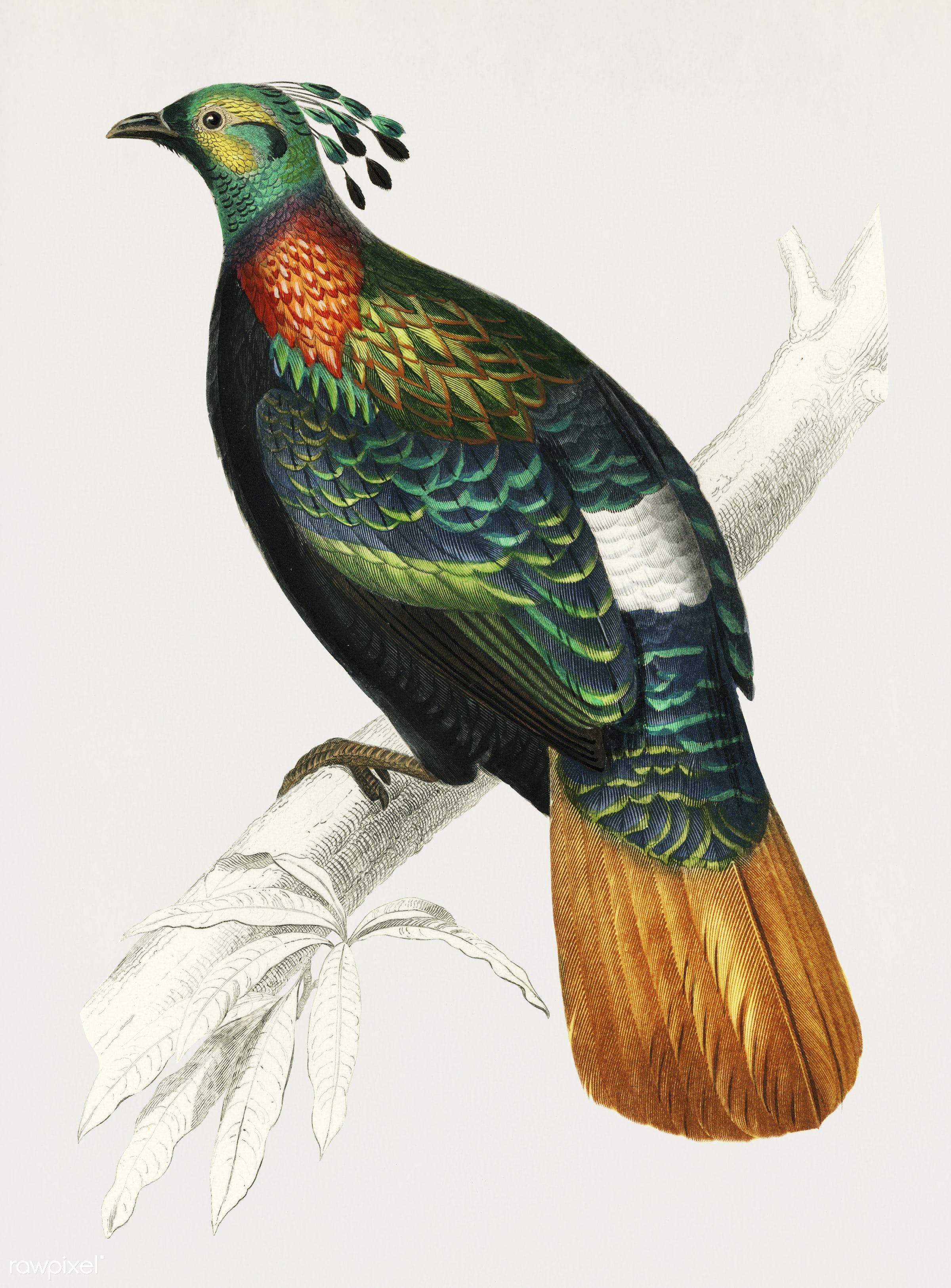 Vintage Illustration of Himalayan monal (Lophophorus refulgens) - orbigny, ancient, animal, antique, artwork, bird, charles...
