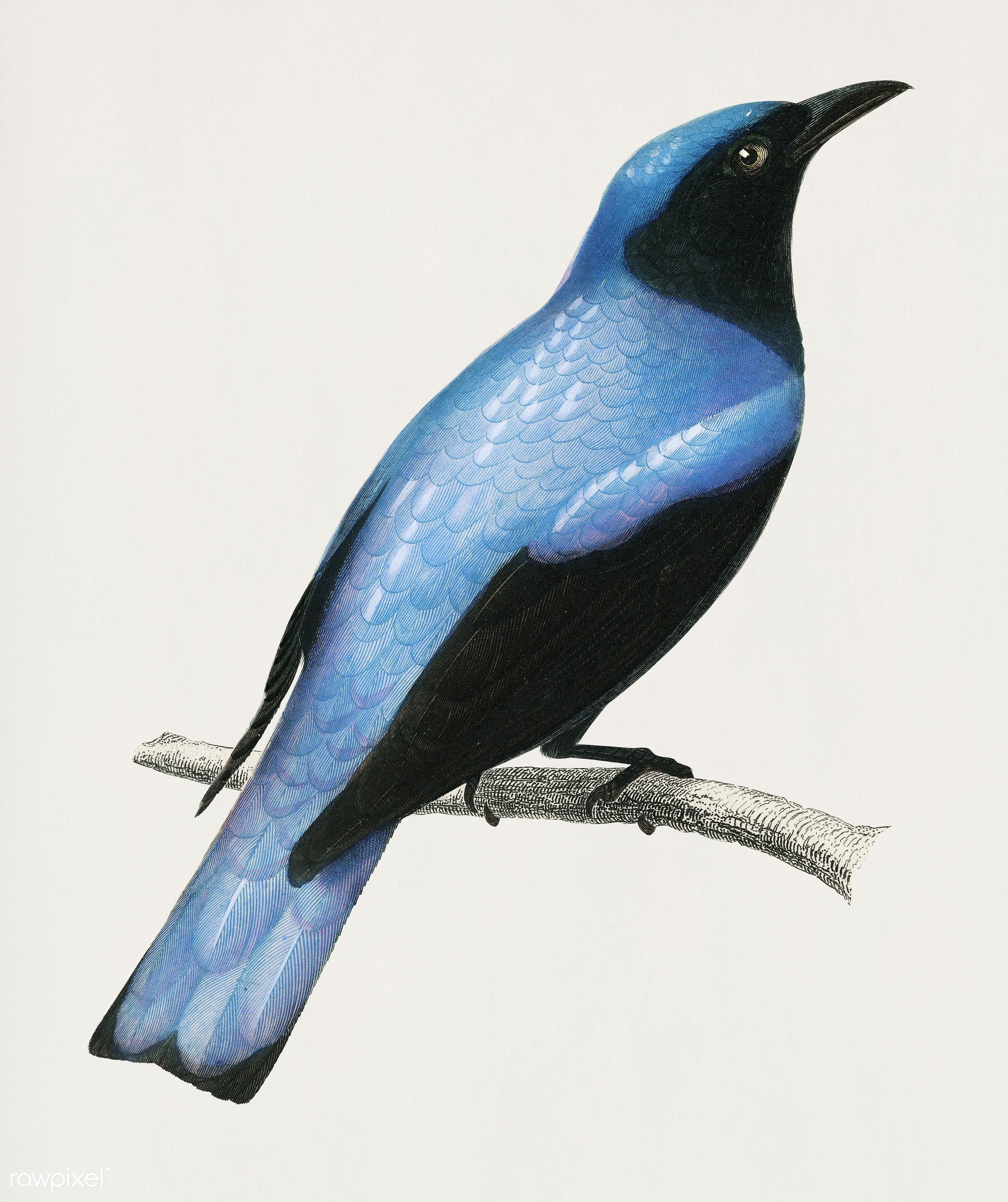 Square-tailed drongo (Edoius caerulescens) illustrated by Charles Dessalines D' Orbigny (1806-1876). Digitally enhanced...