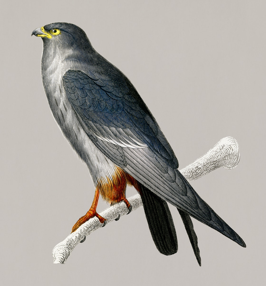 Vintage Illustration of Red-footed Falcon.