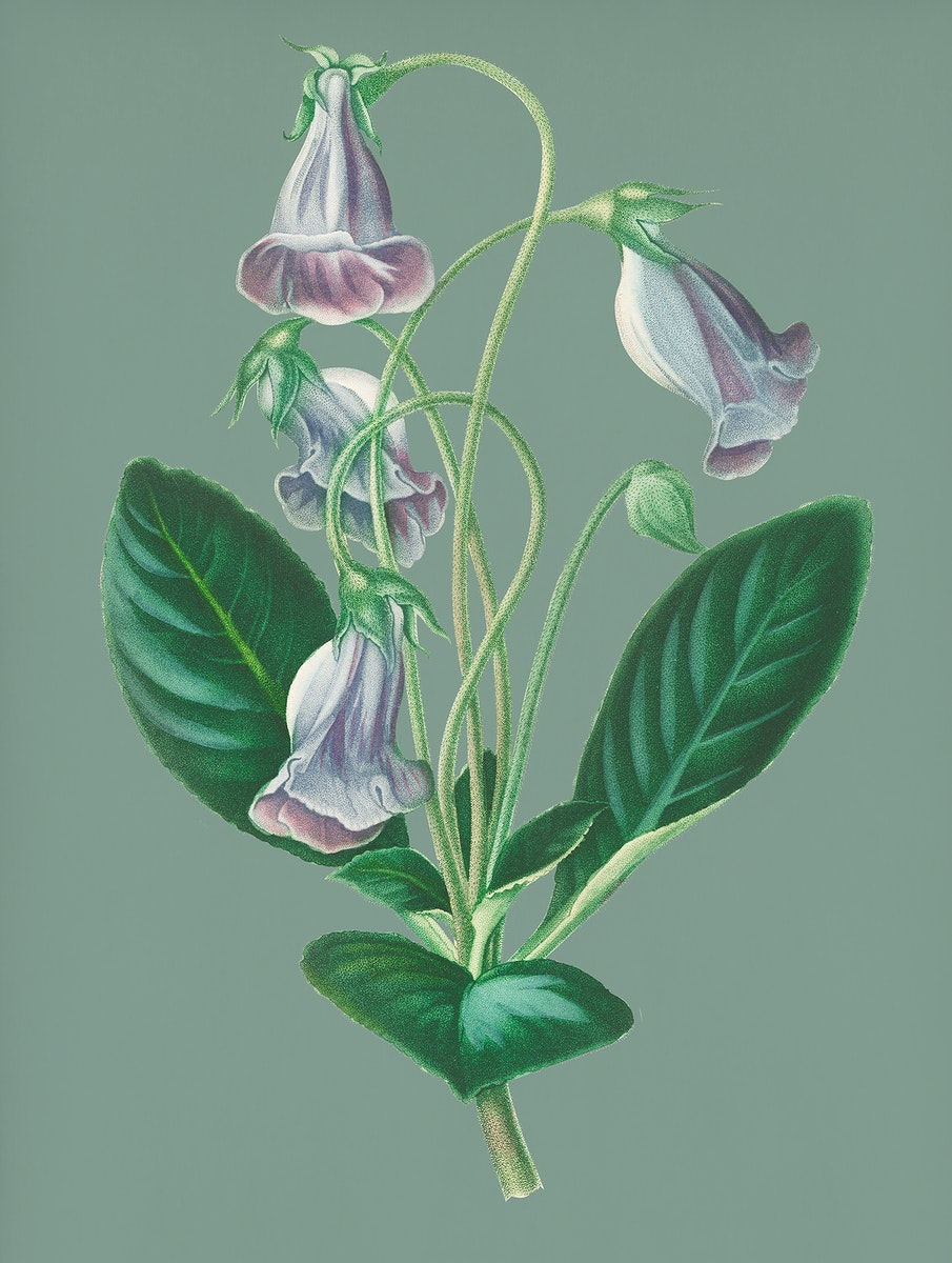 Vintage Illustration of Brazilian gloxinia or Florist's gloxinia.